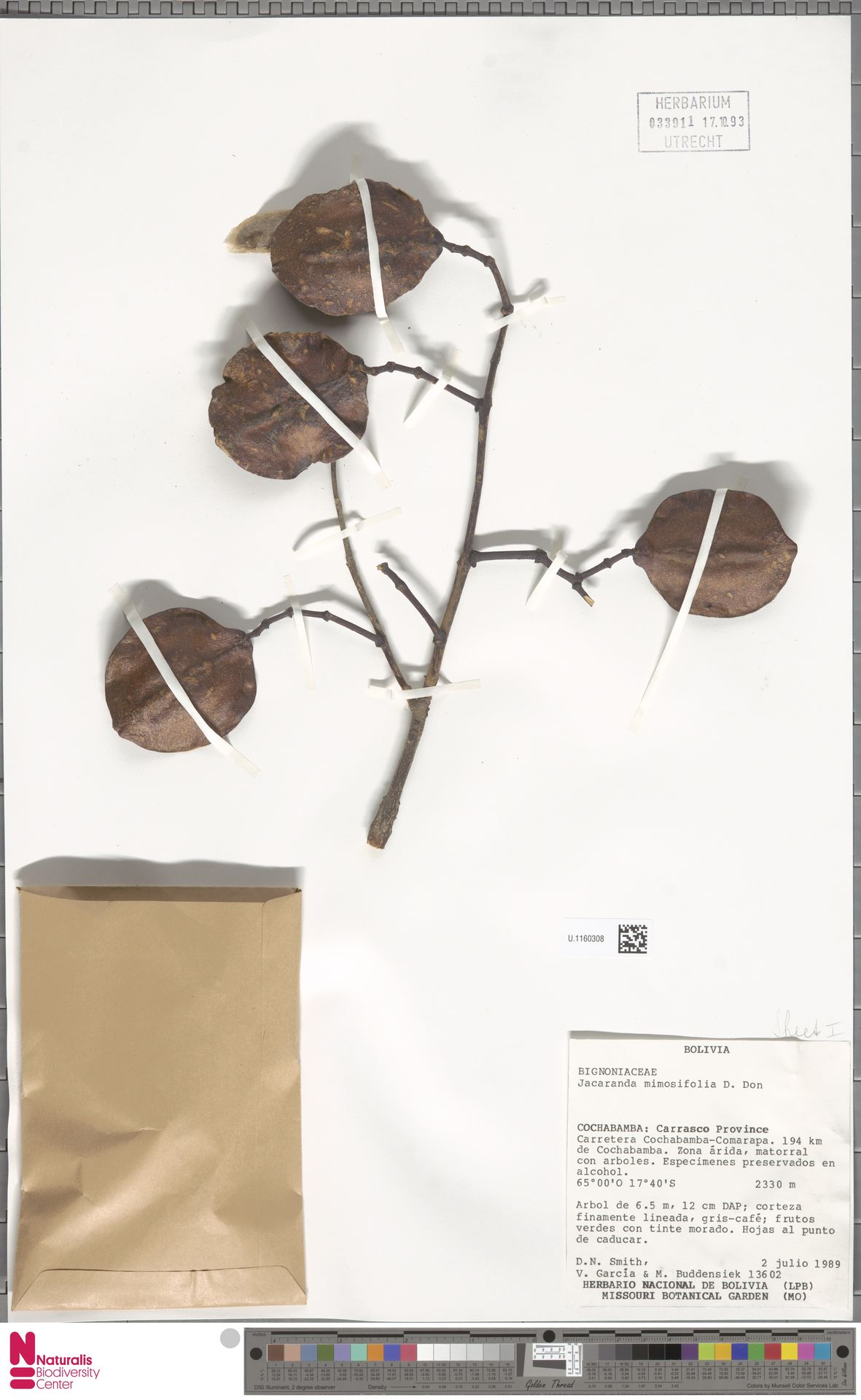 U.1160308 | Jacaranda mimosifolia D.Don