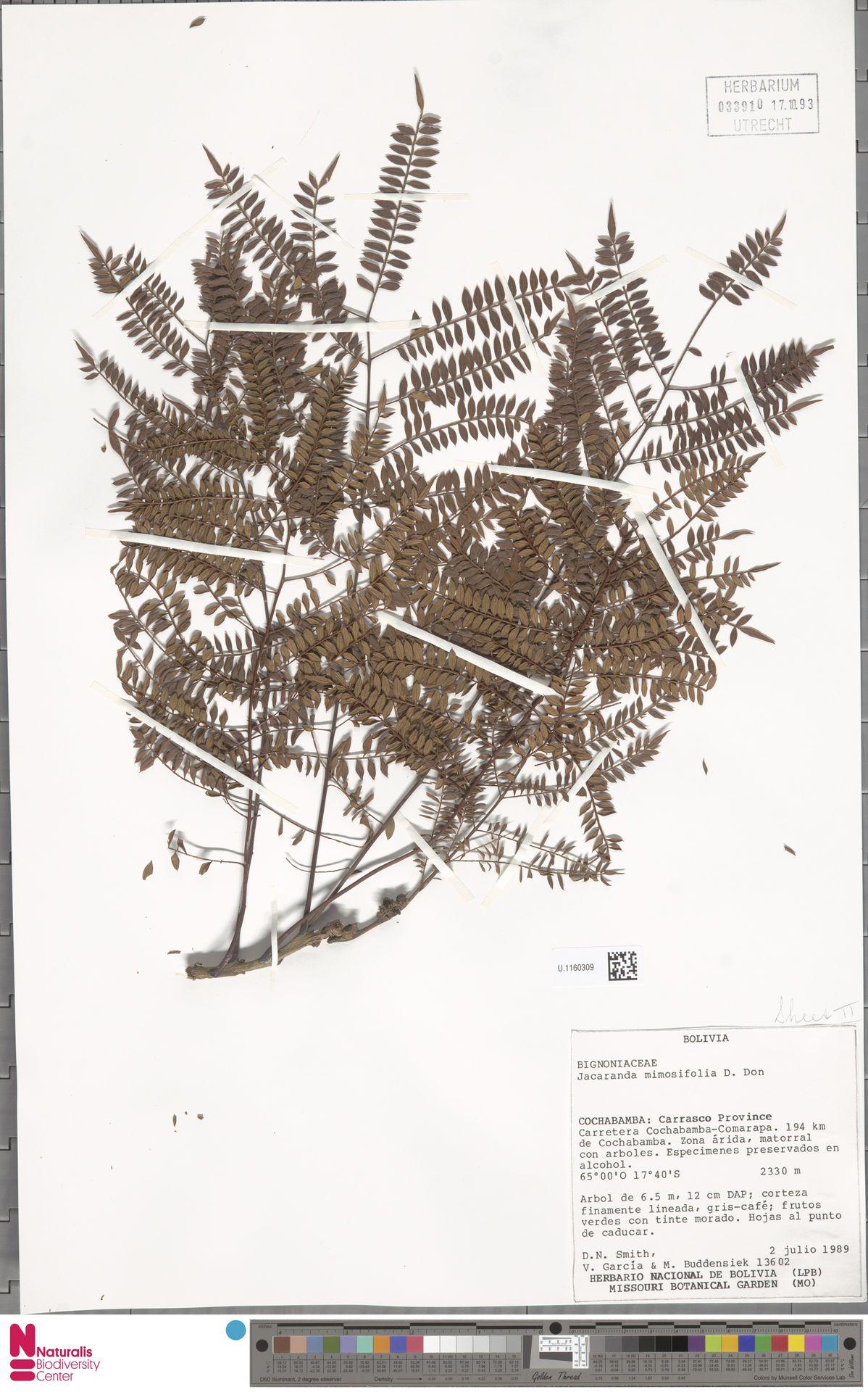U.1160309   Jacaranda mimosifolia D.Don
