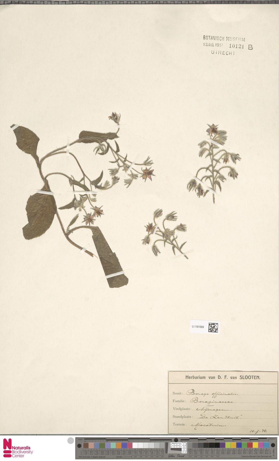 U.1161669 | Borago officinalis L.