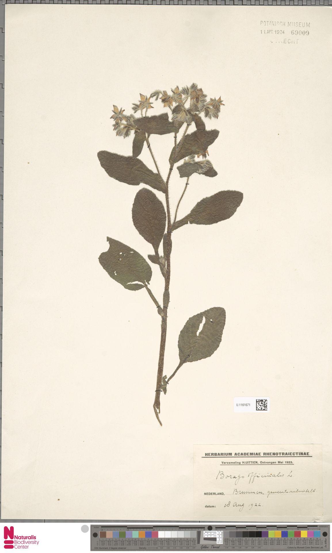 U.1161671 | Borago officinalis L.