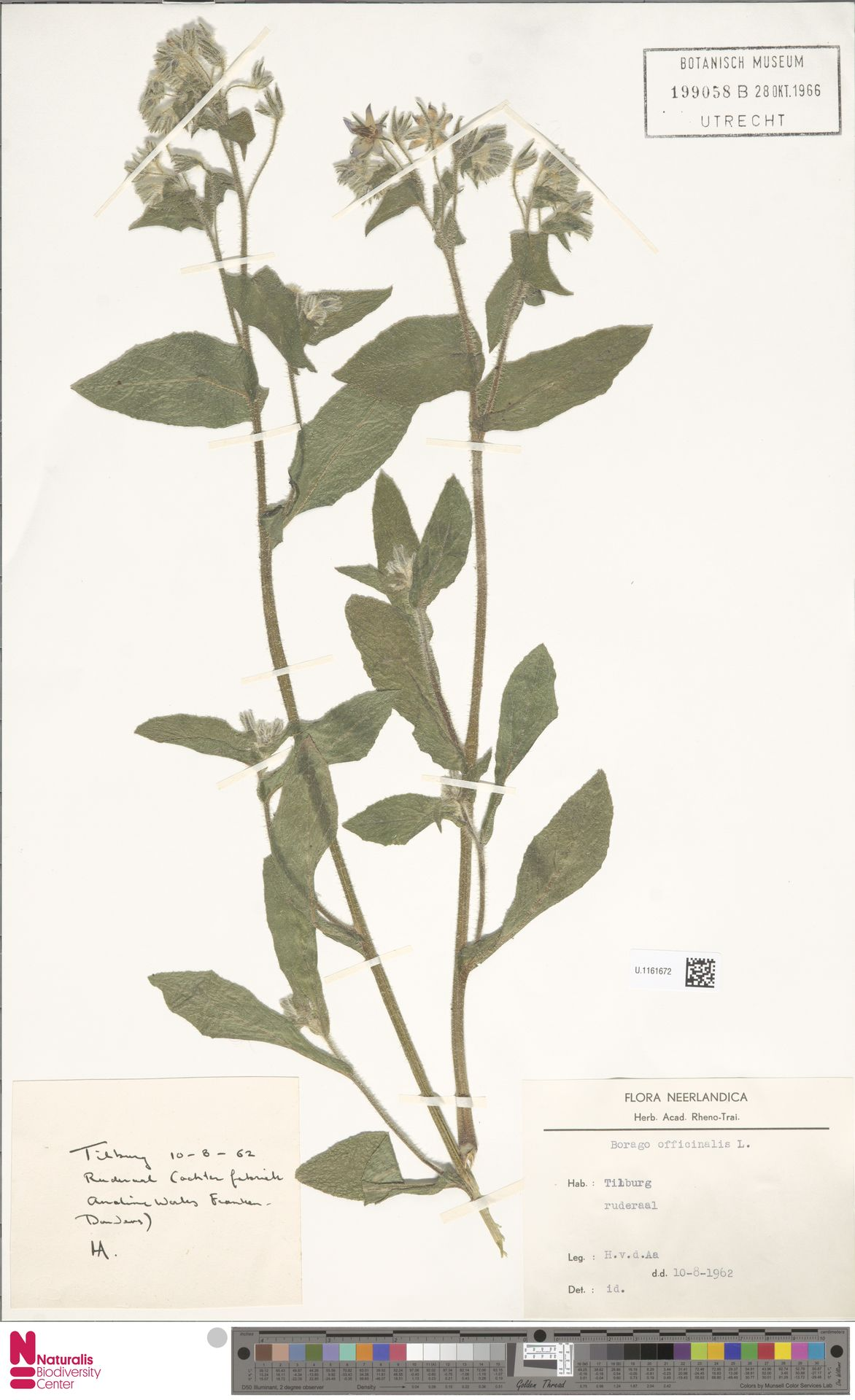 U.1161672 | Borago officinalis L.
