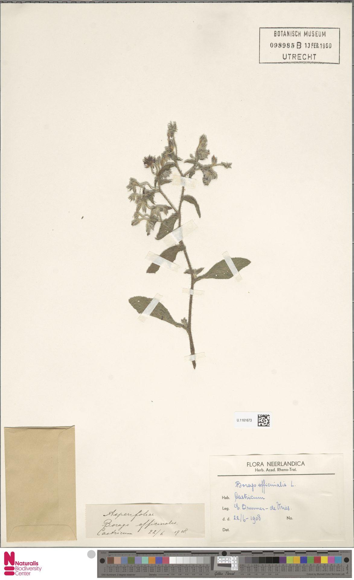 U.1161673 | Borago officinalis L.
