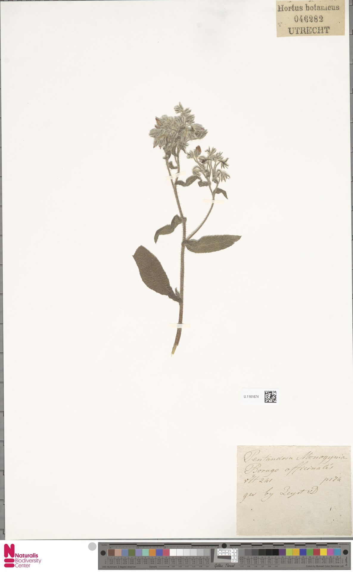 U.1161674 | Borago officinalis L.