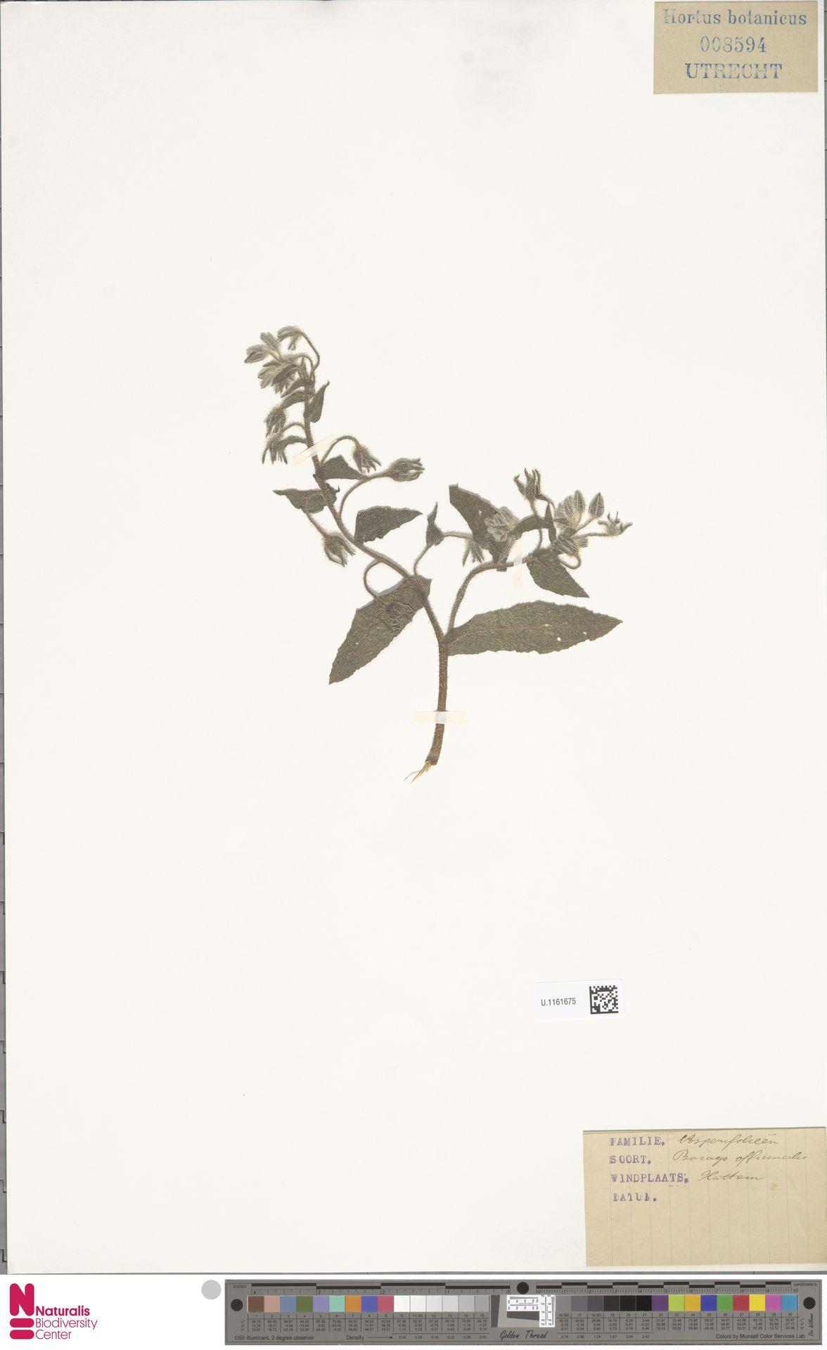 U.1161675 | Borago officinalis L.