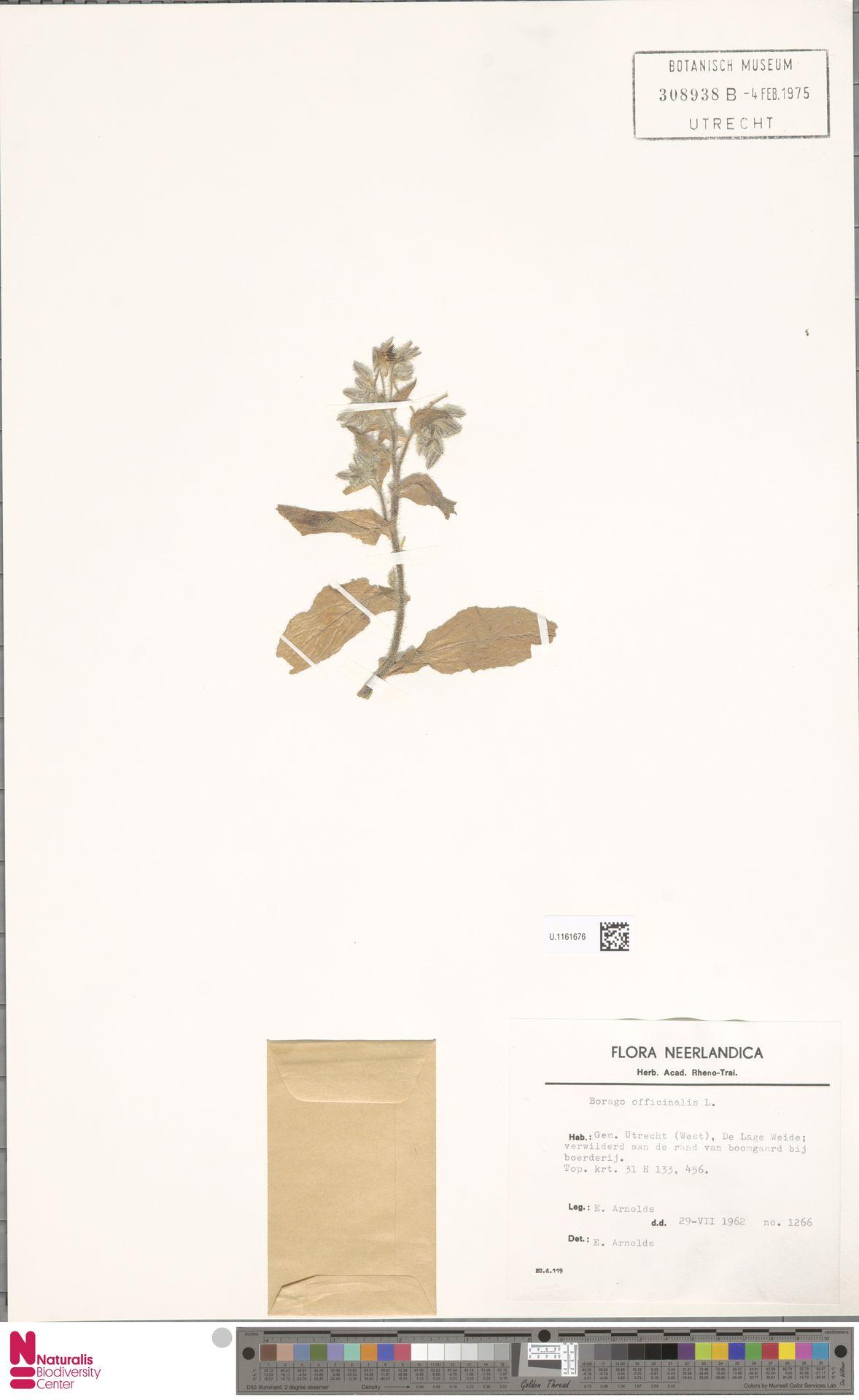 U.1161676 | Borago officinalis L.