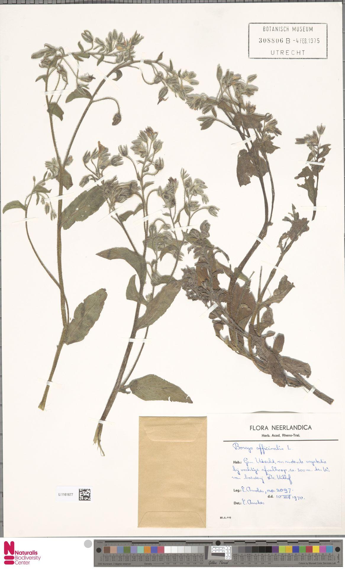 U.1161677 | Borago officinalis L.