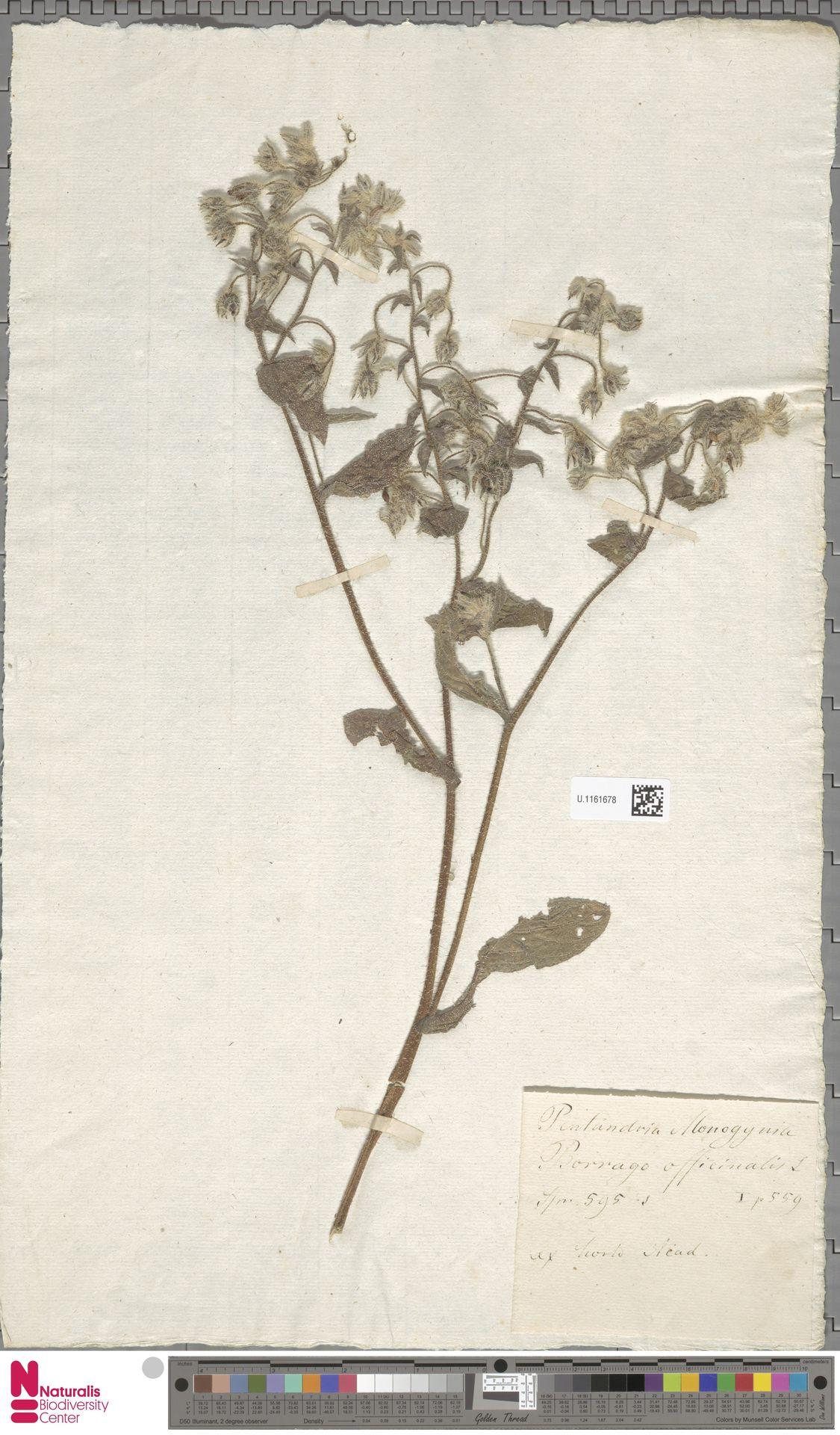 U.1161678   Borago officinalis L.