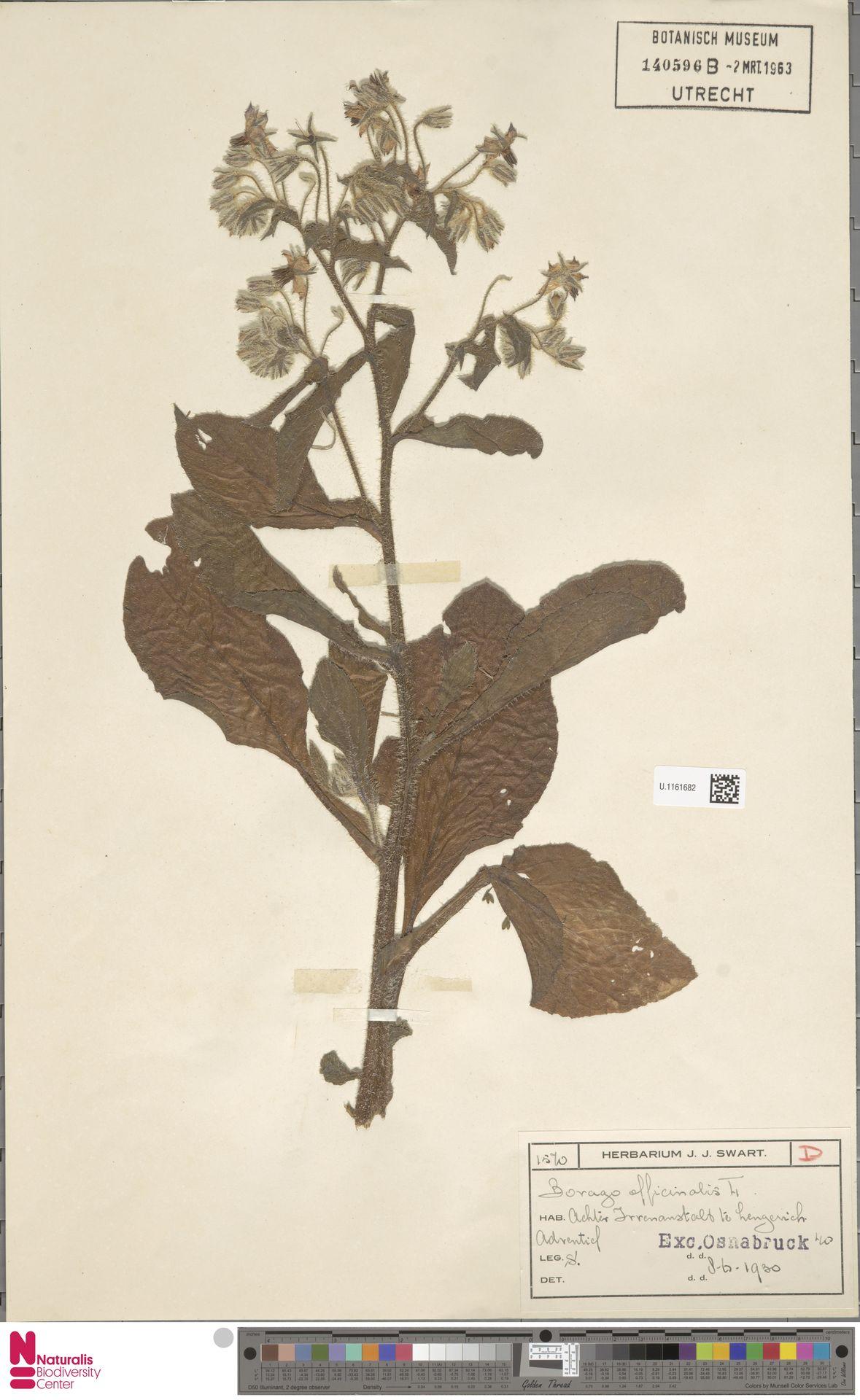 U.1161682   Borago officinalis L.