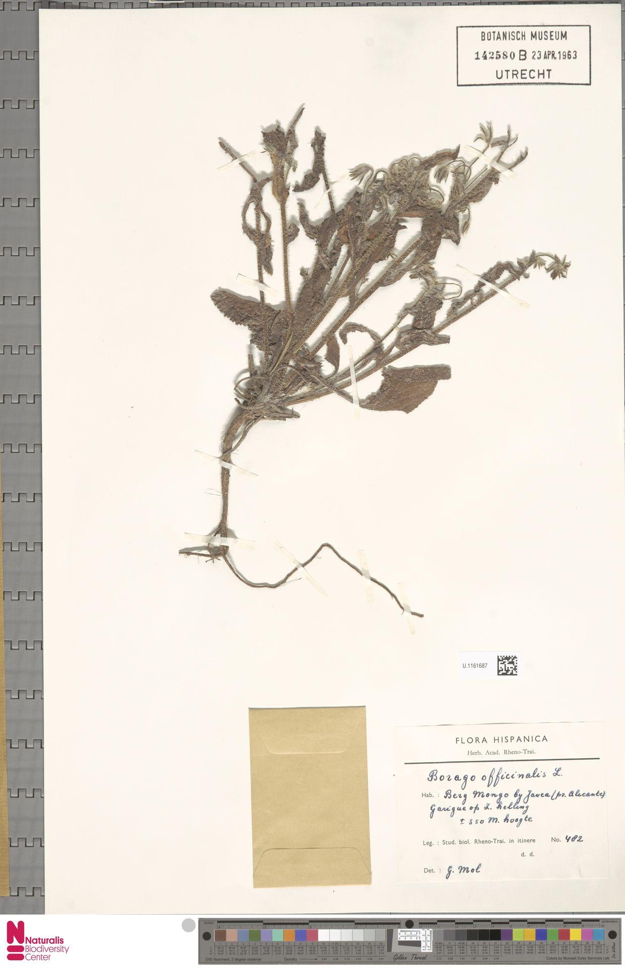U.1161687 | Borago officinalis L.