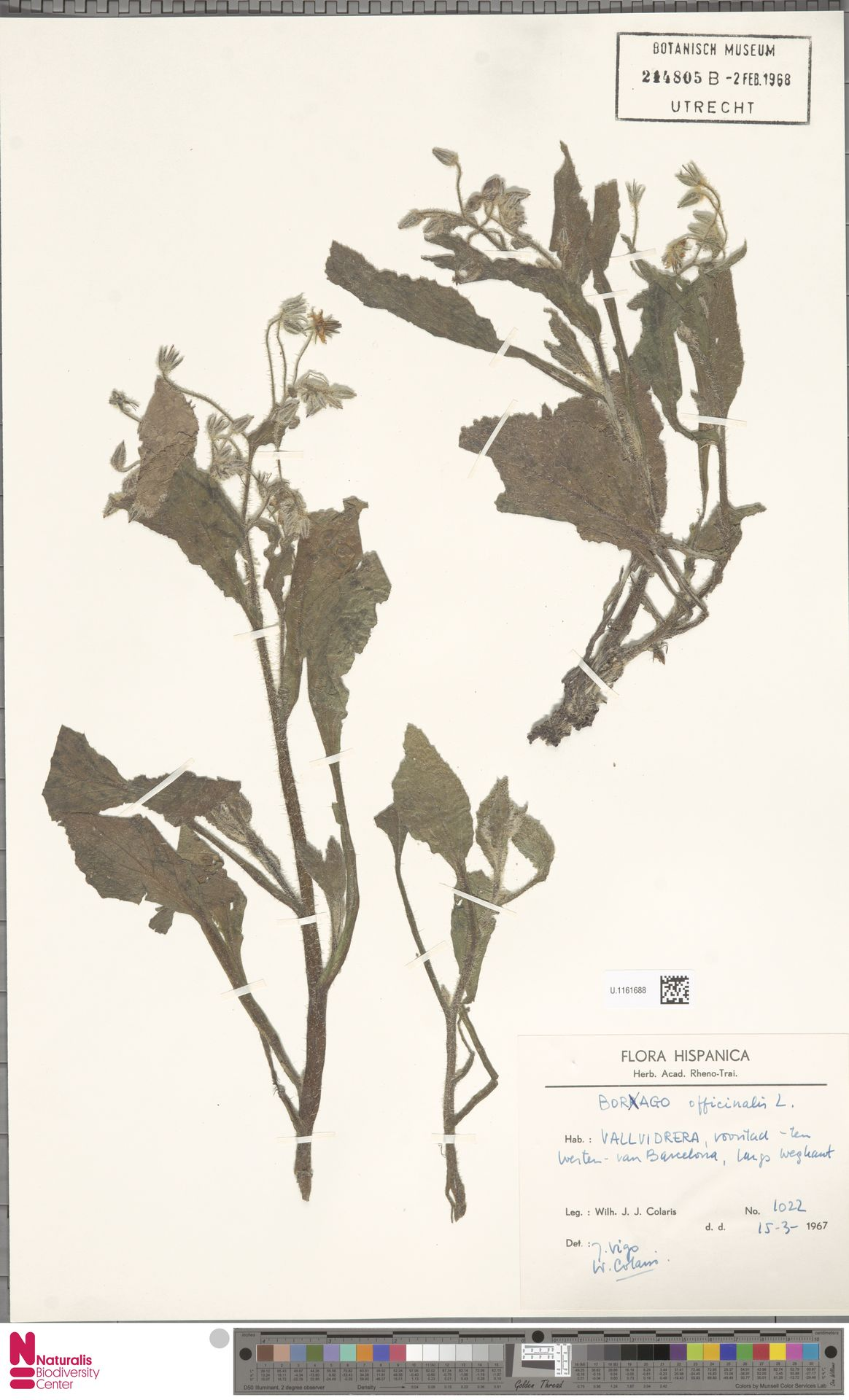 U.1161688 | Borago officinalis L.