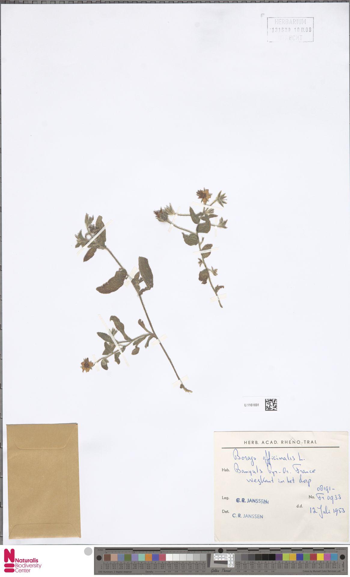 U.1161691 | Borago officinalis L.