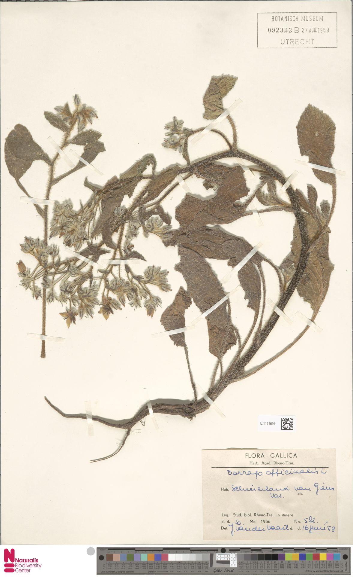 U.1161694 | Borago officinalis L.