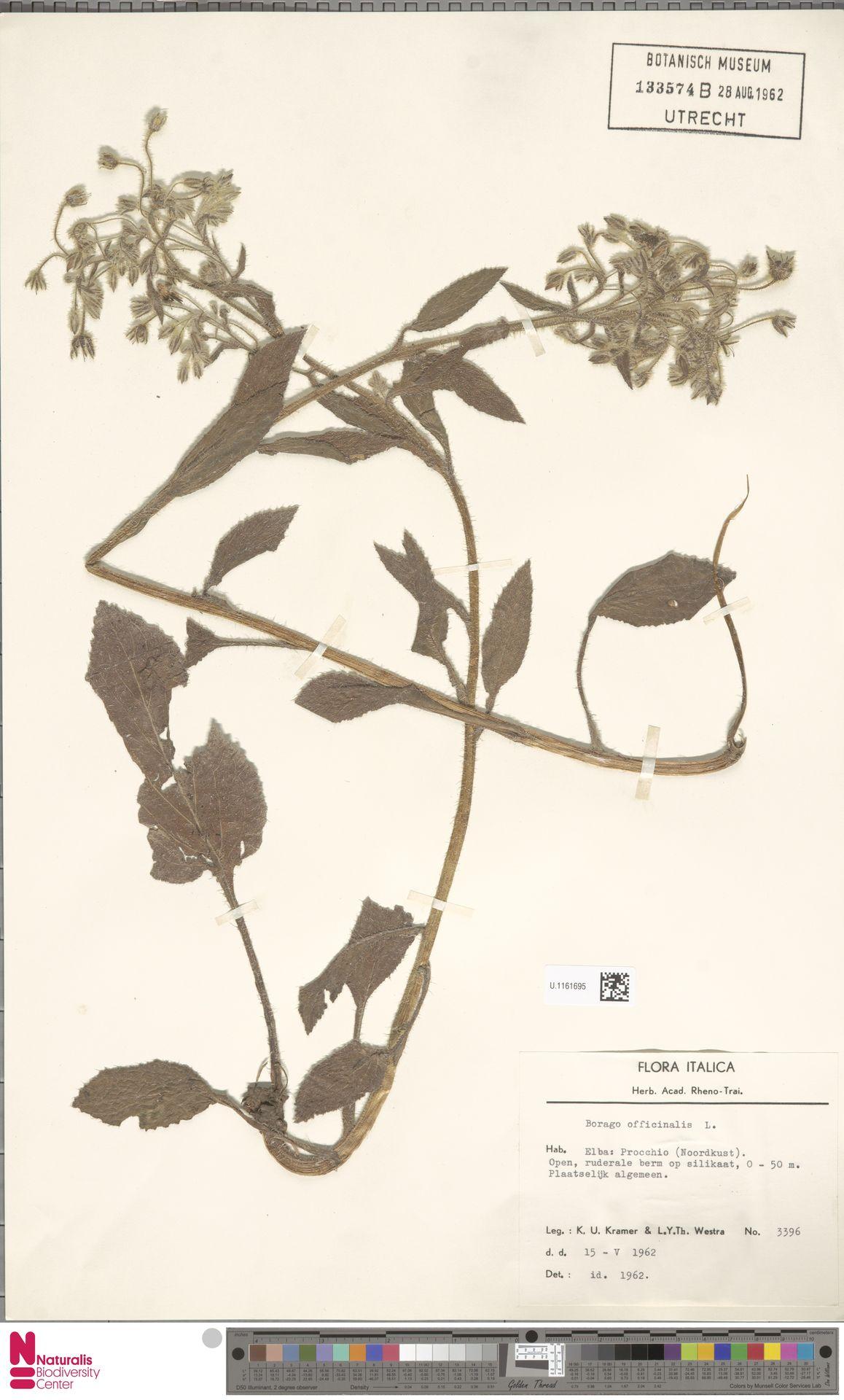 U.1161695 | Borago officinalis L.