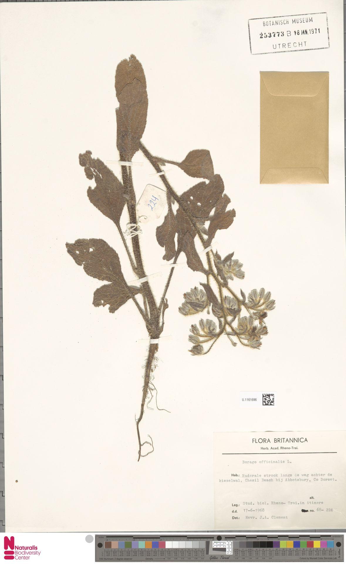 U.1161696 | Borago officinalis L.