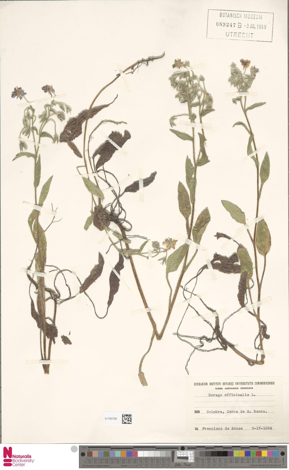 U.1161701 | Borago officinalis L.