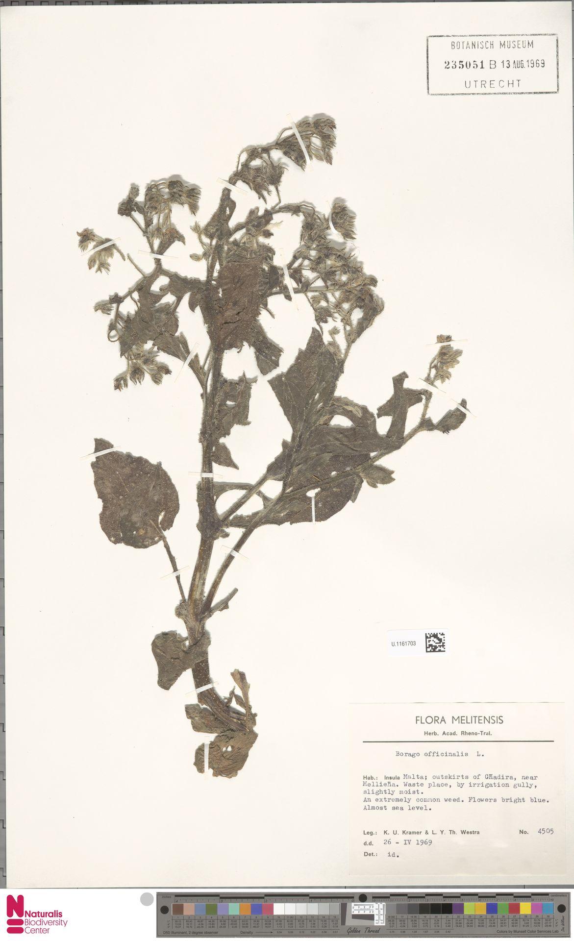 U.1161703   Borago officinalis L.