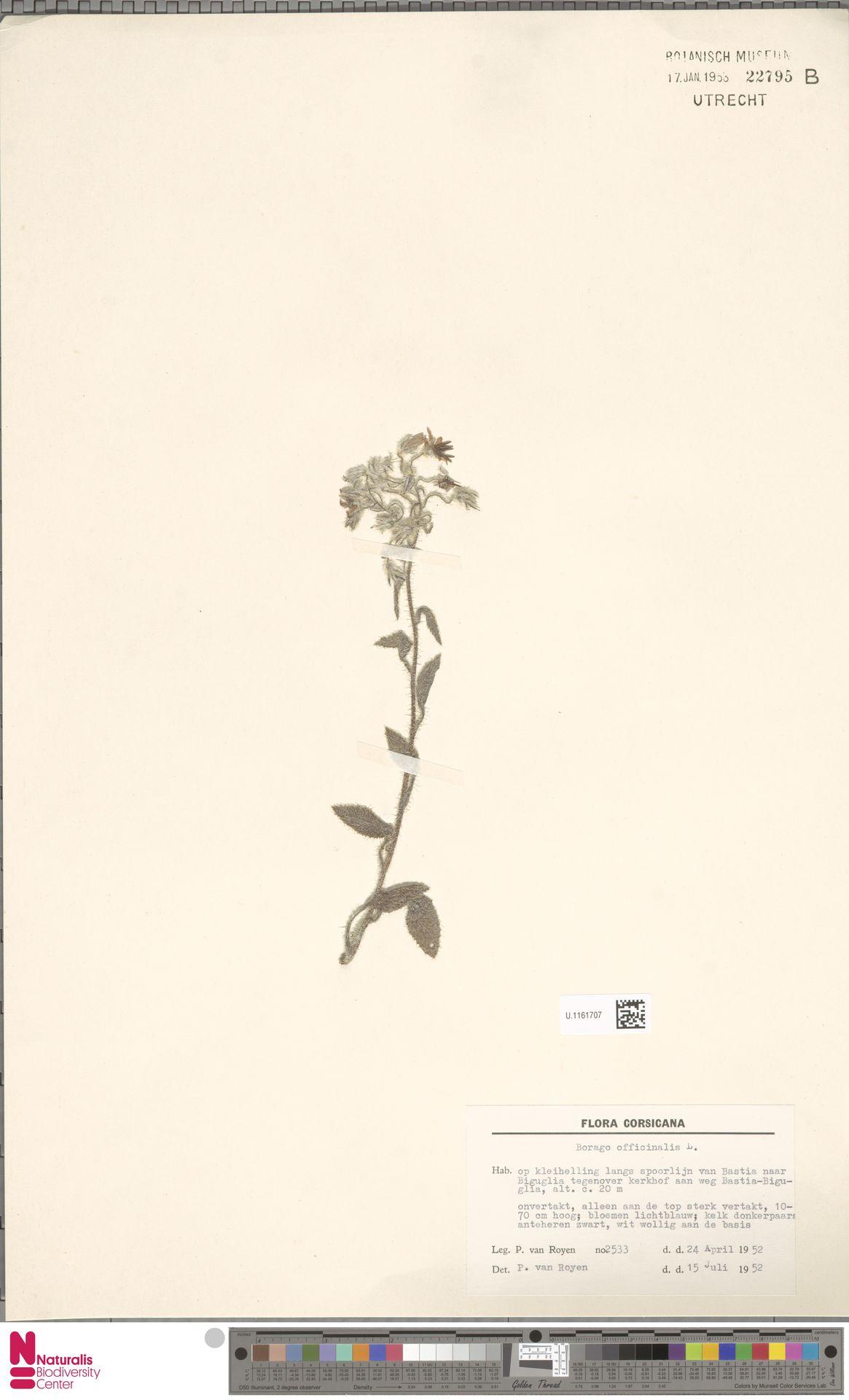 U.1161707 | Borago officinalis L.