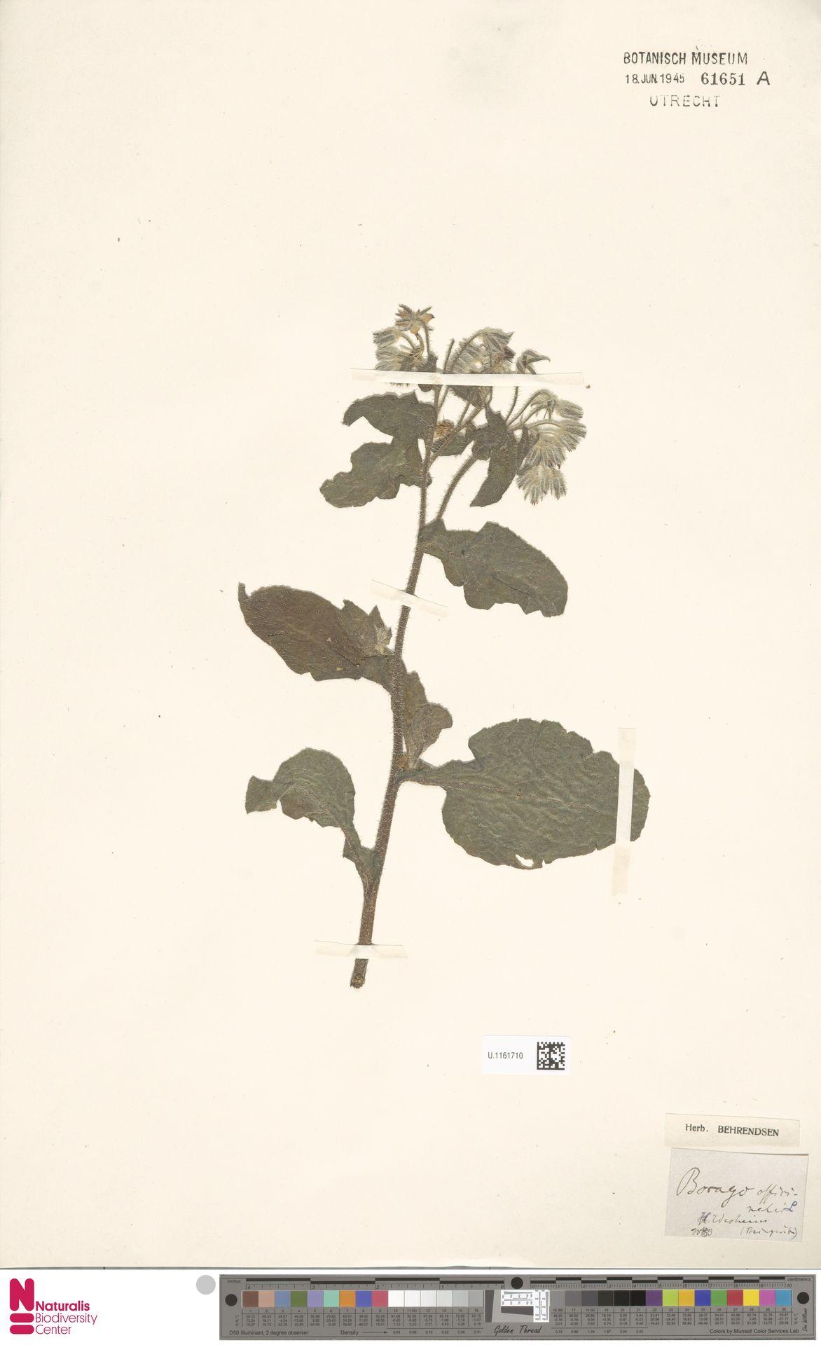 U.1161710 | Borago officinalis L.
