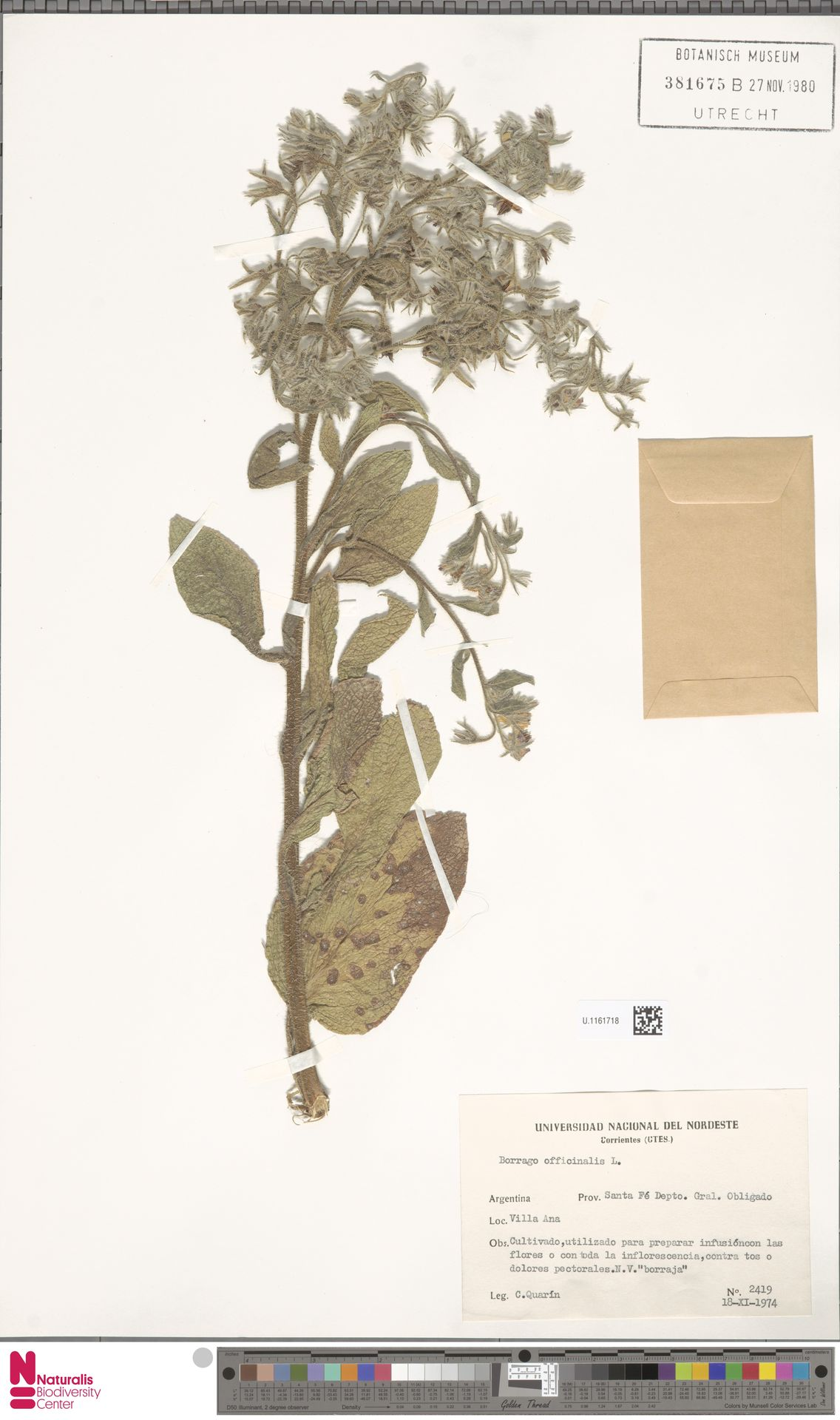 U.1161718 | Borago officinalis L.
