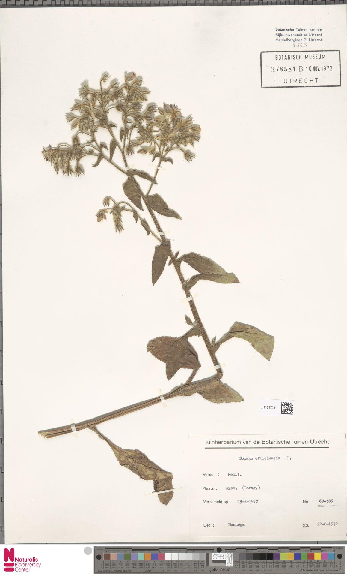 U.1161721 | Borago officinalis L.