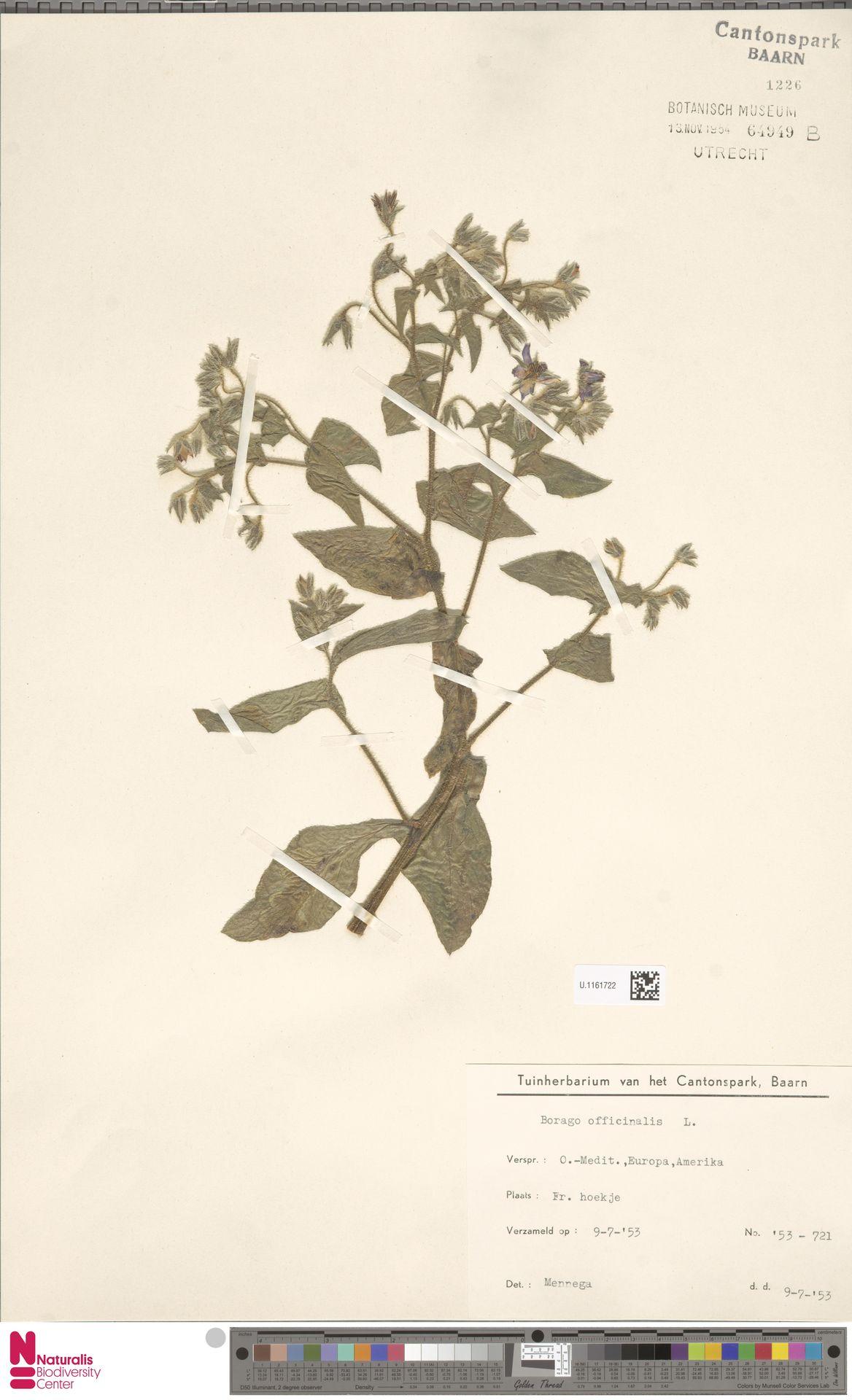 U.1161722   Borago officinalis L.