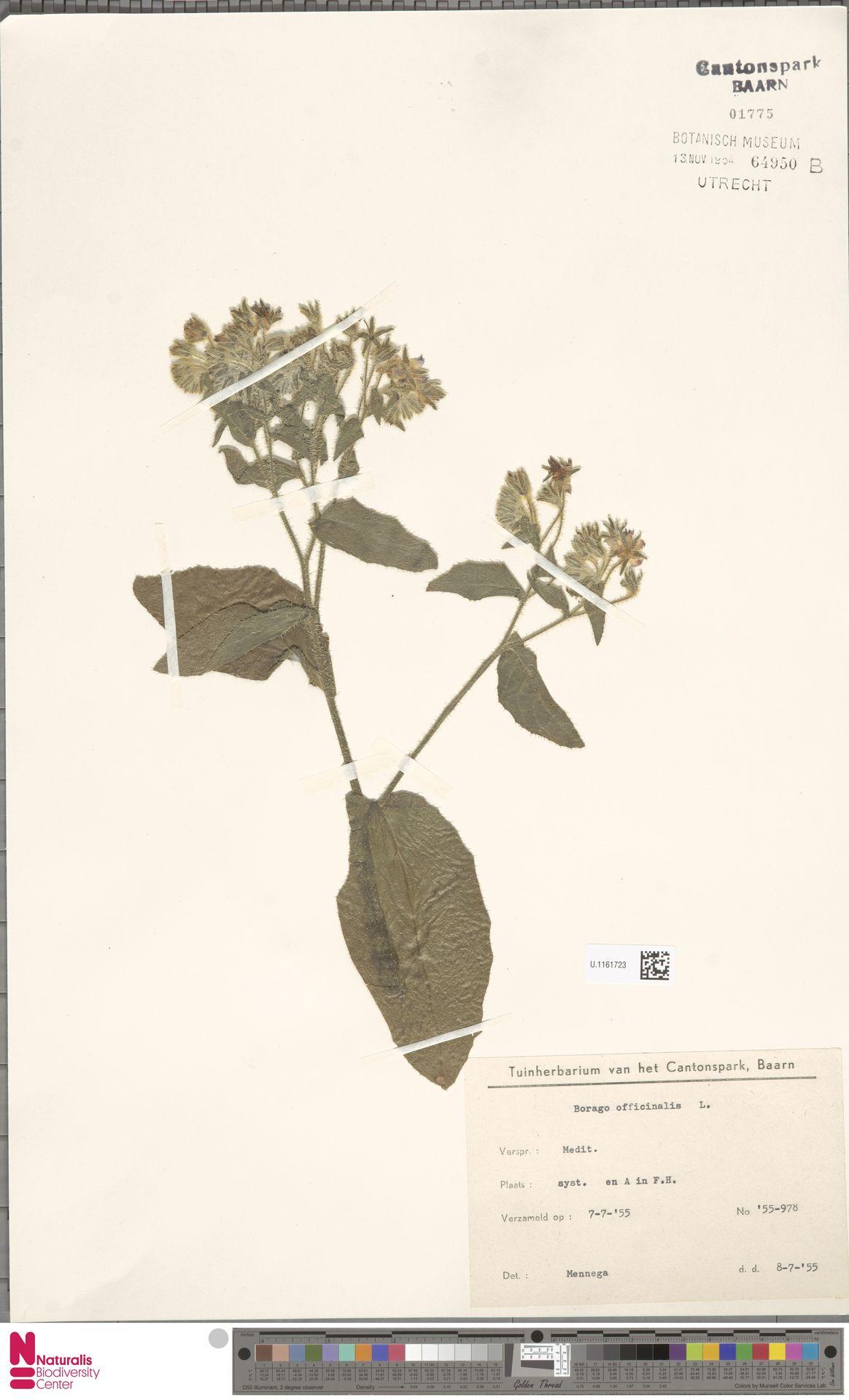 U.1161723 | Borago officinalis L.