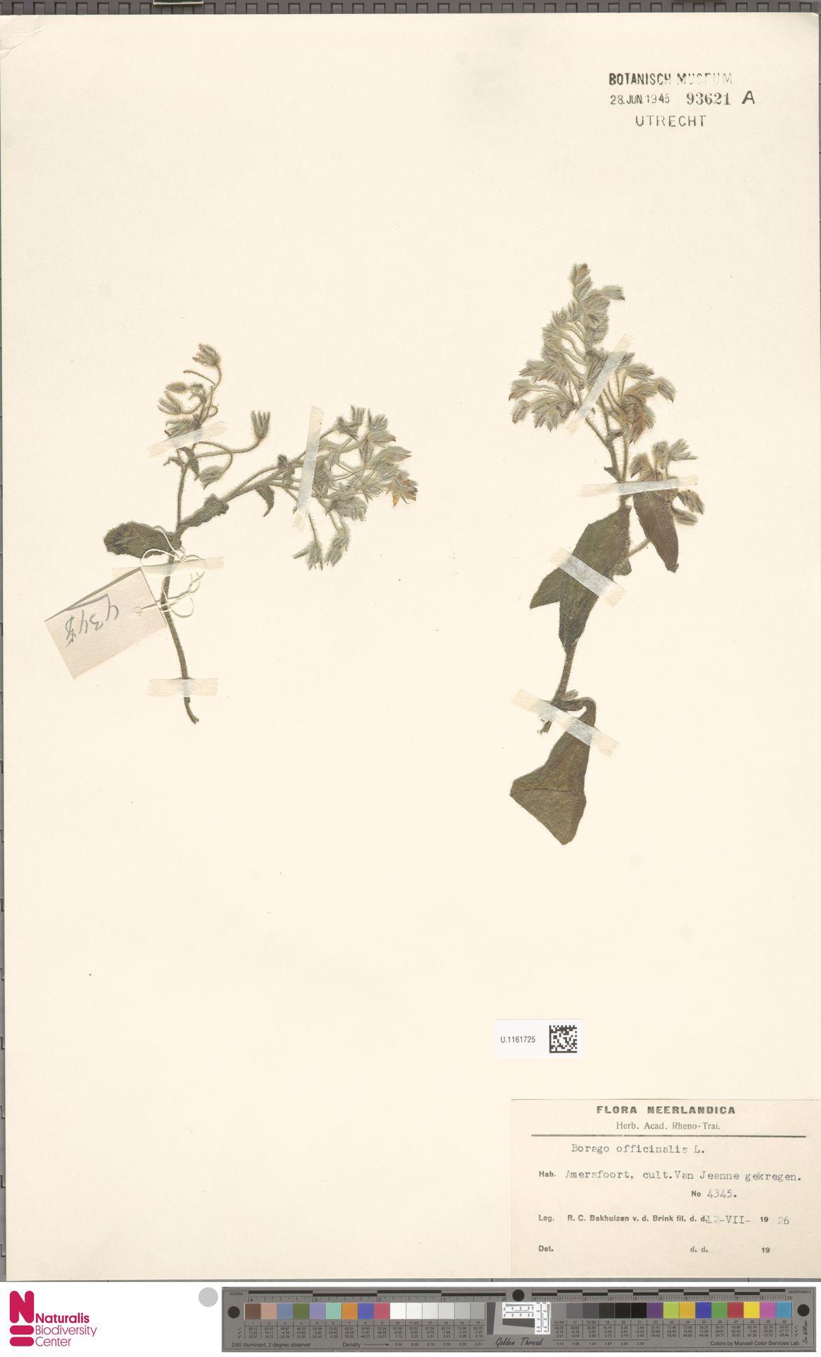 U.1161725 | Borago officinalis L.