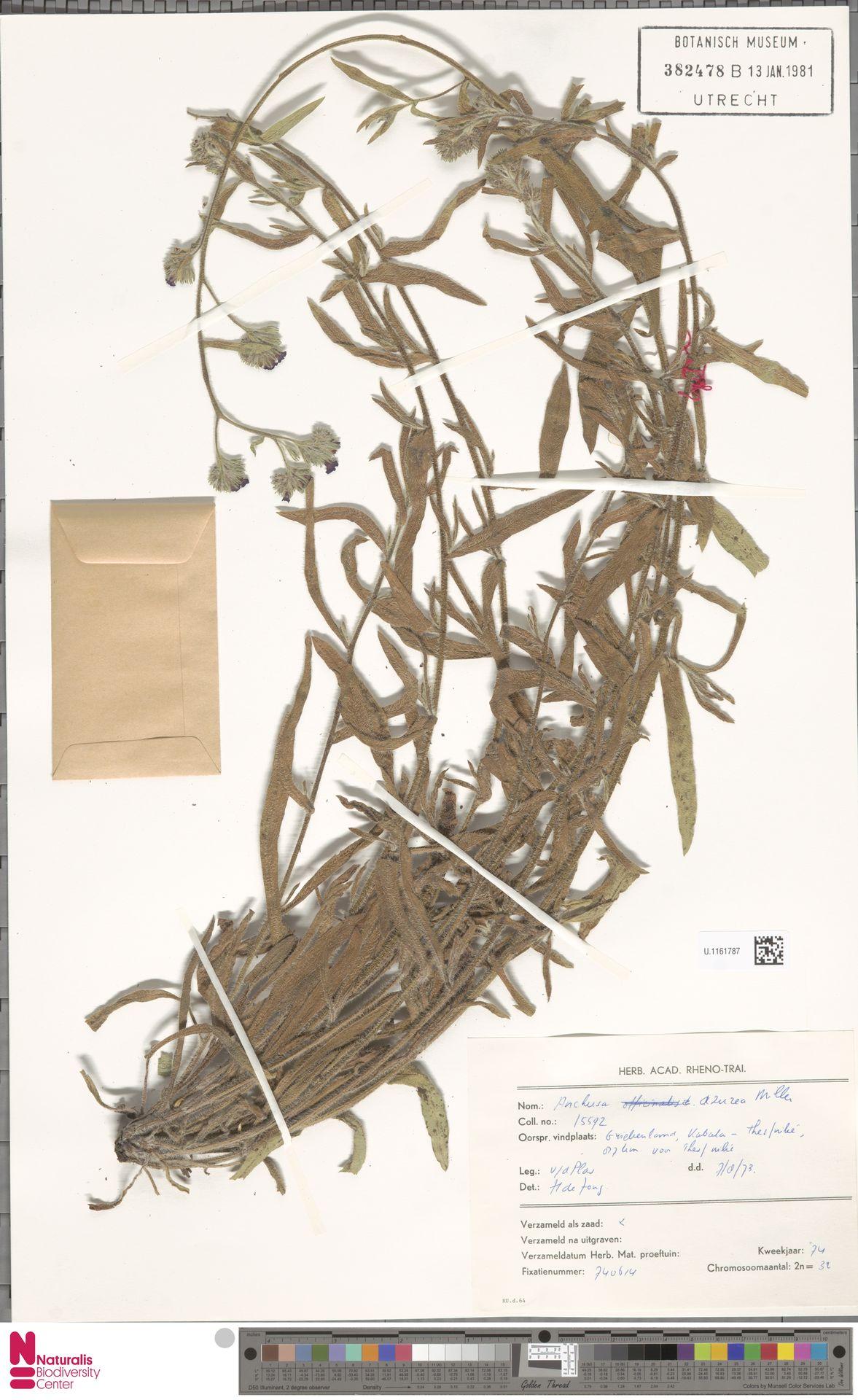 U.1161787 | Anchusa azurea Mill.