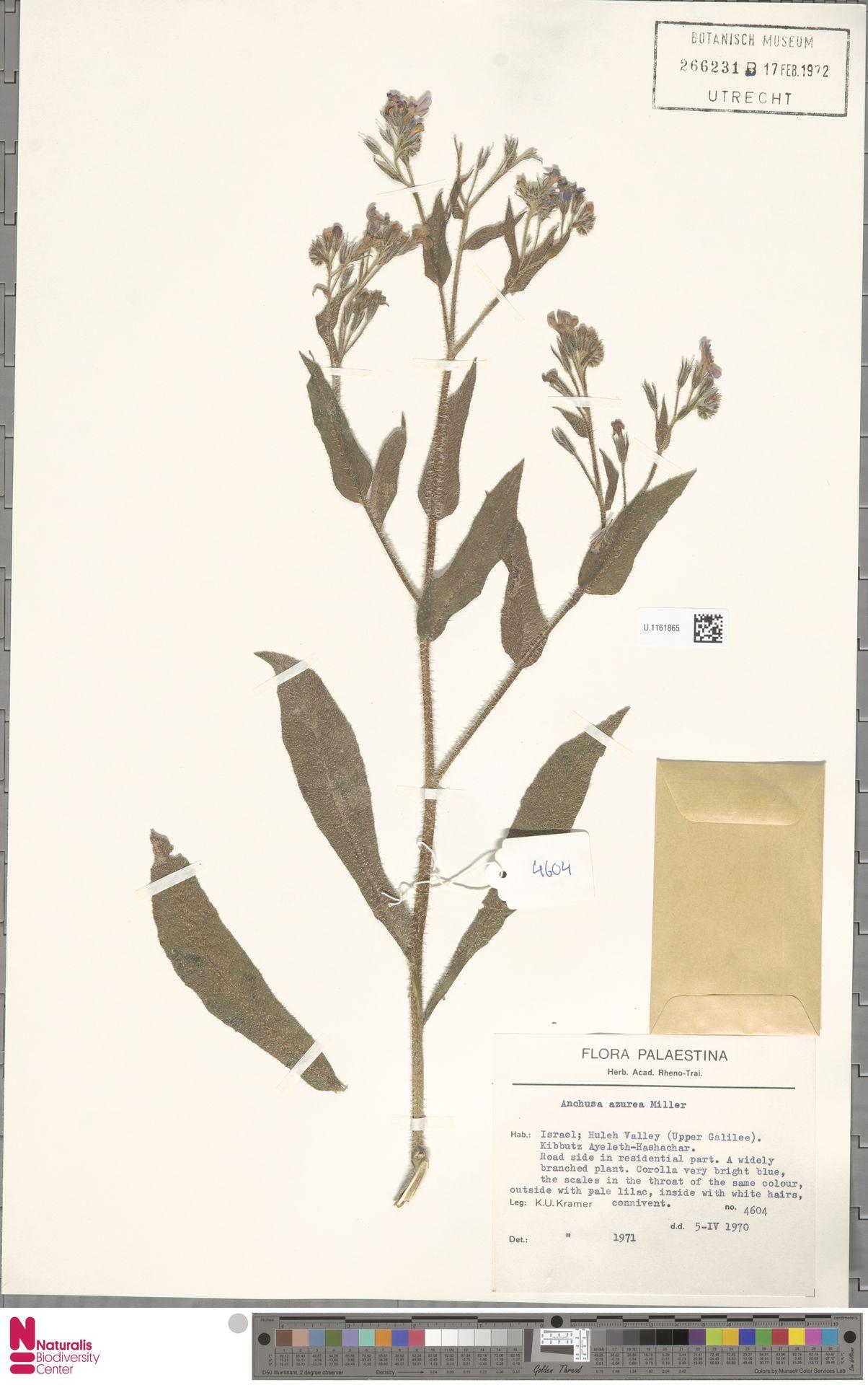 U.1161865 | Anchusa azurea Mill.