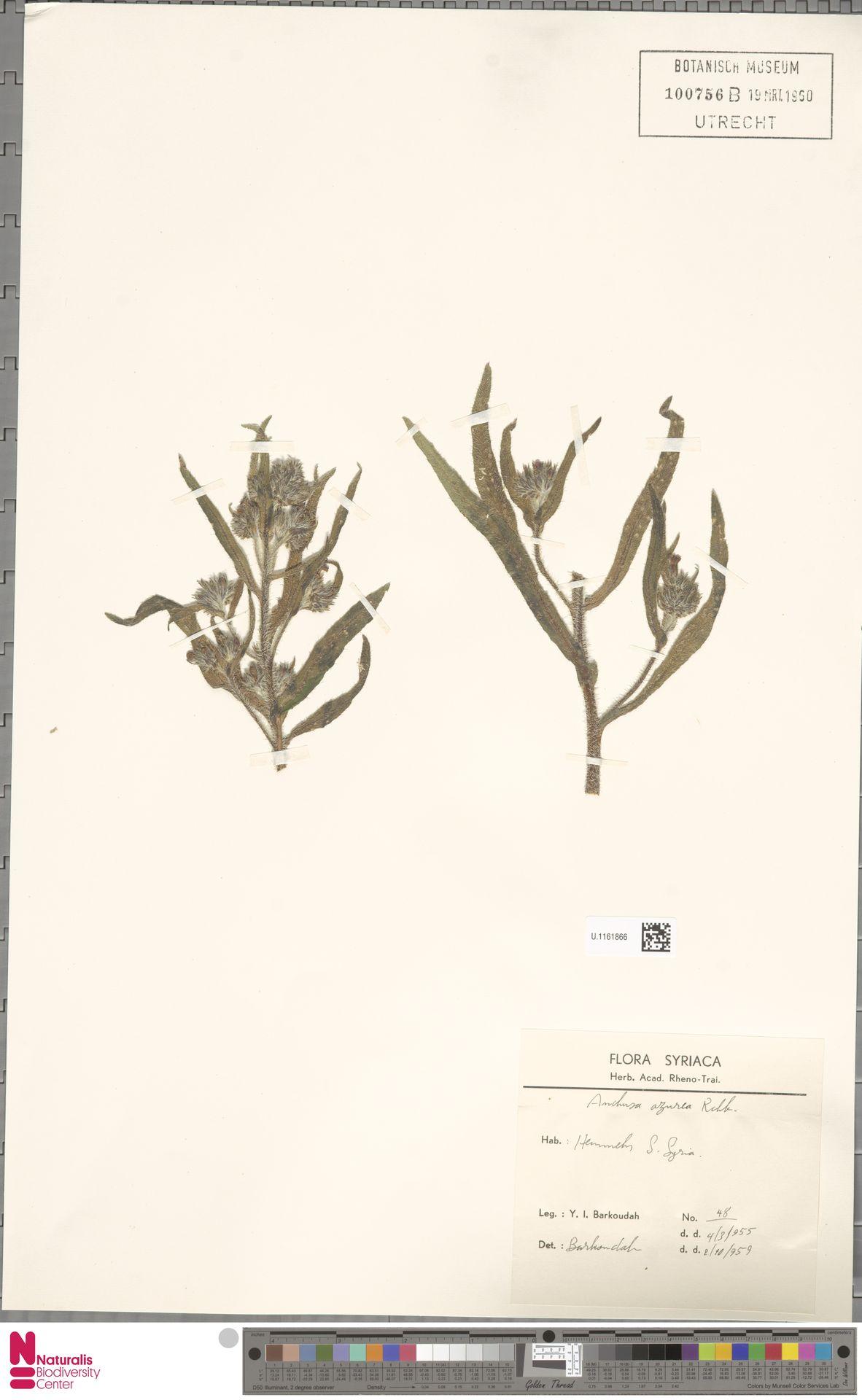 U.1161866 | Anchusa azurea Mill.