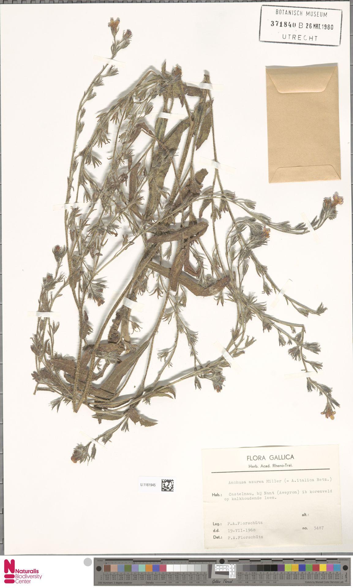 U.1161945 | Anchusa azurea Mill.