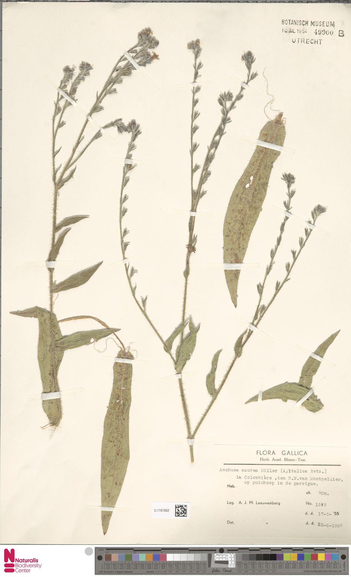 U.1161952 | Anchusa azurea Mill.