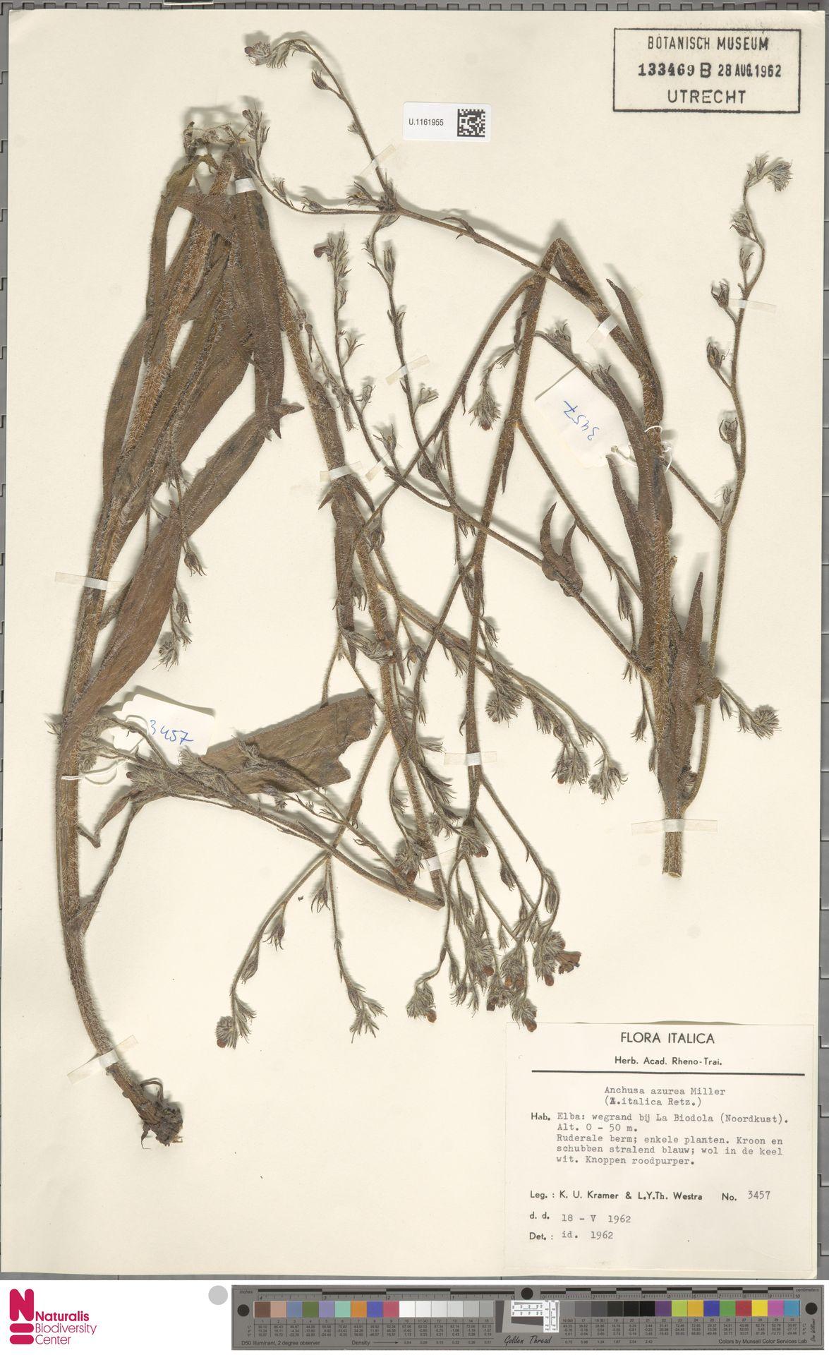 U.1161955 | Anchusa azurea Mill.