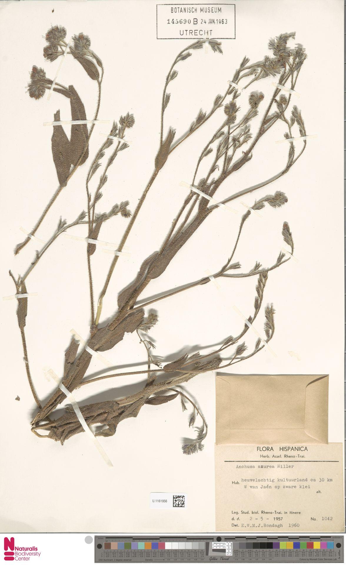 U.1161956 | Anchusa azurea Mill.