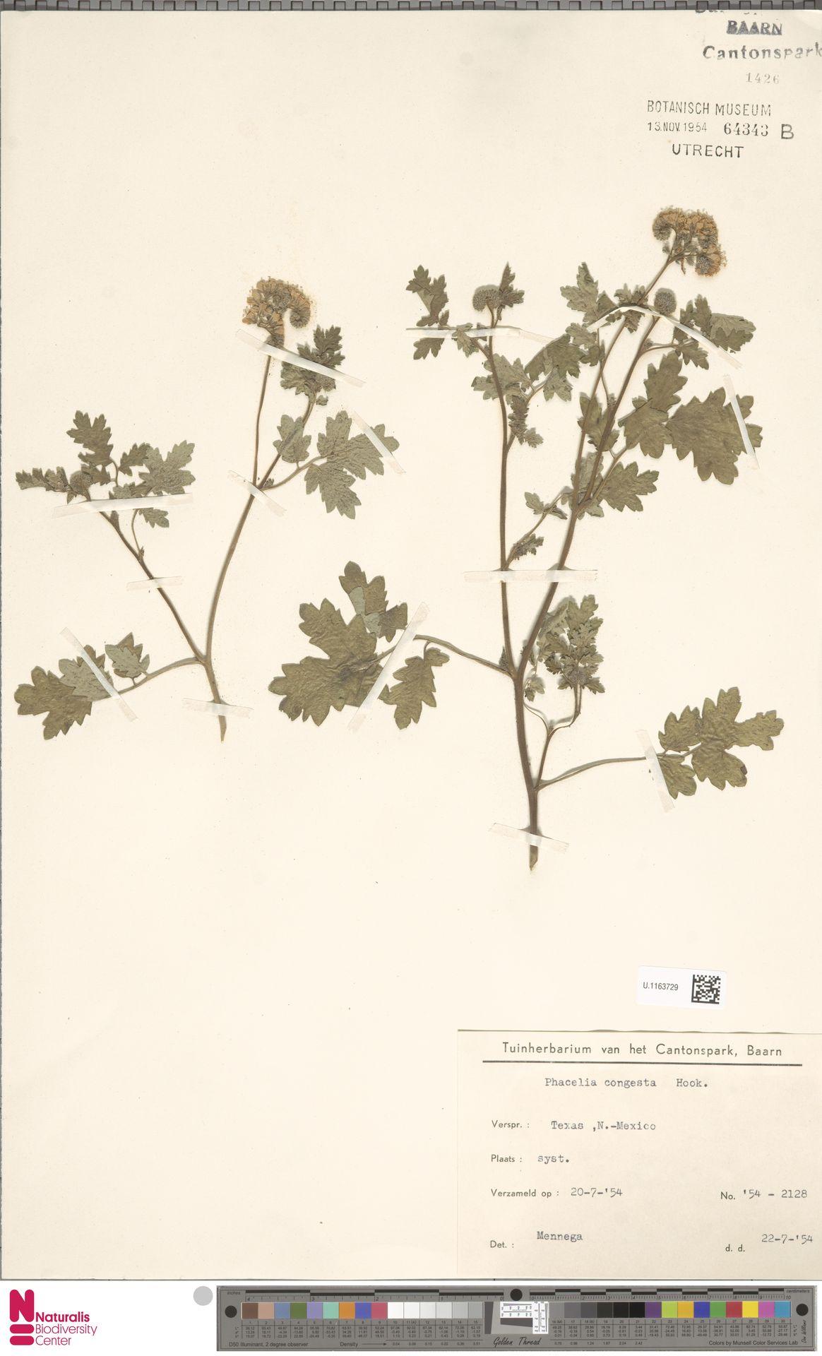 U.1163729 | Phacelia congesta Hook.