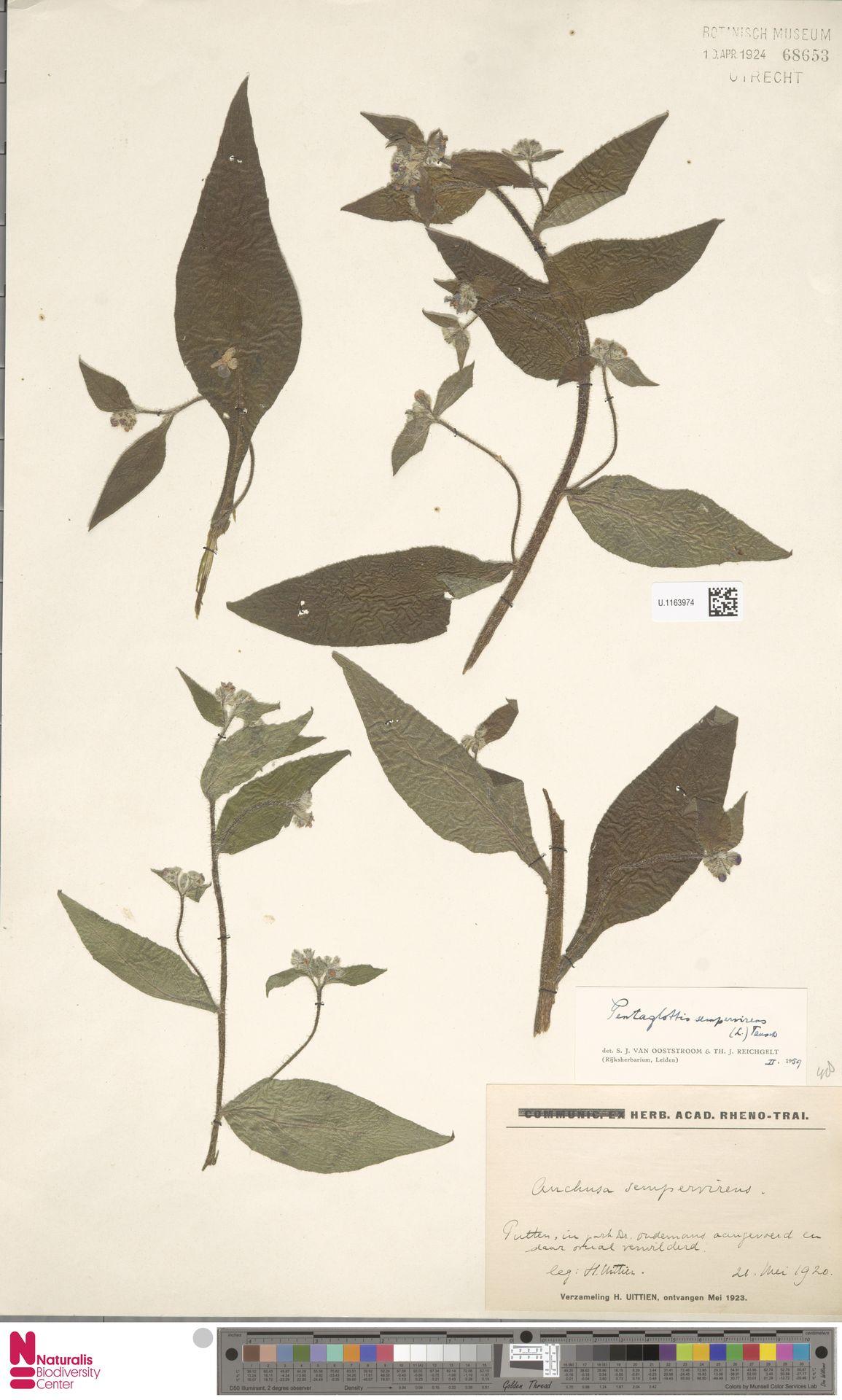 U.1163974 | Pentaglottis sempervirens (L.) L.H.Bailey