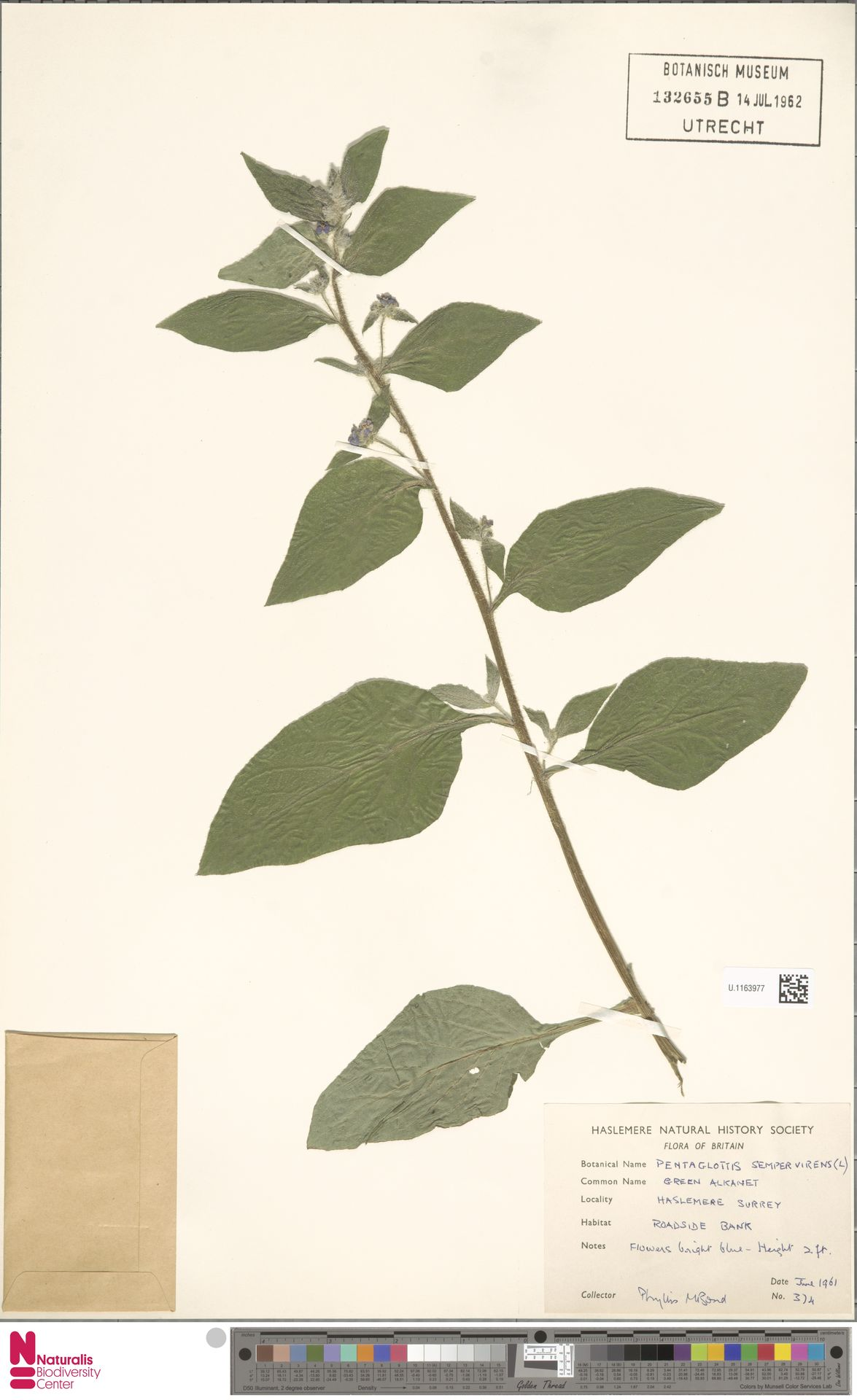 U.1163977 | Pentaglottis sempervirens (L.) L.H.Bailey