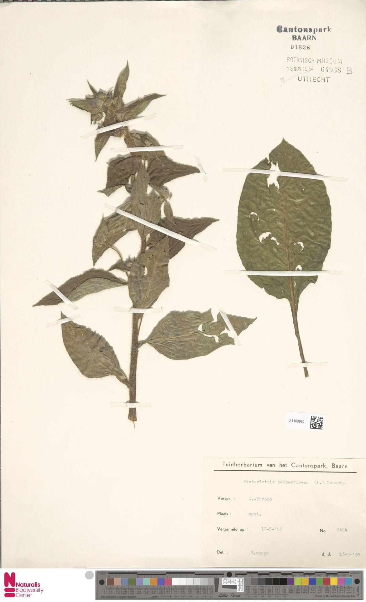 U.1163980   Pentaglottis sempervirens (L.) L.H.Bailey