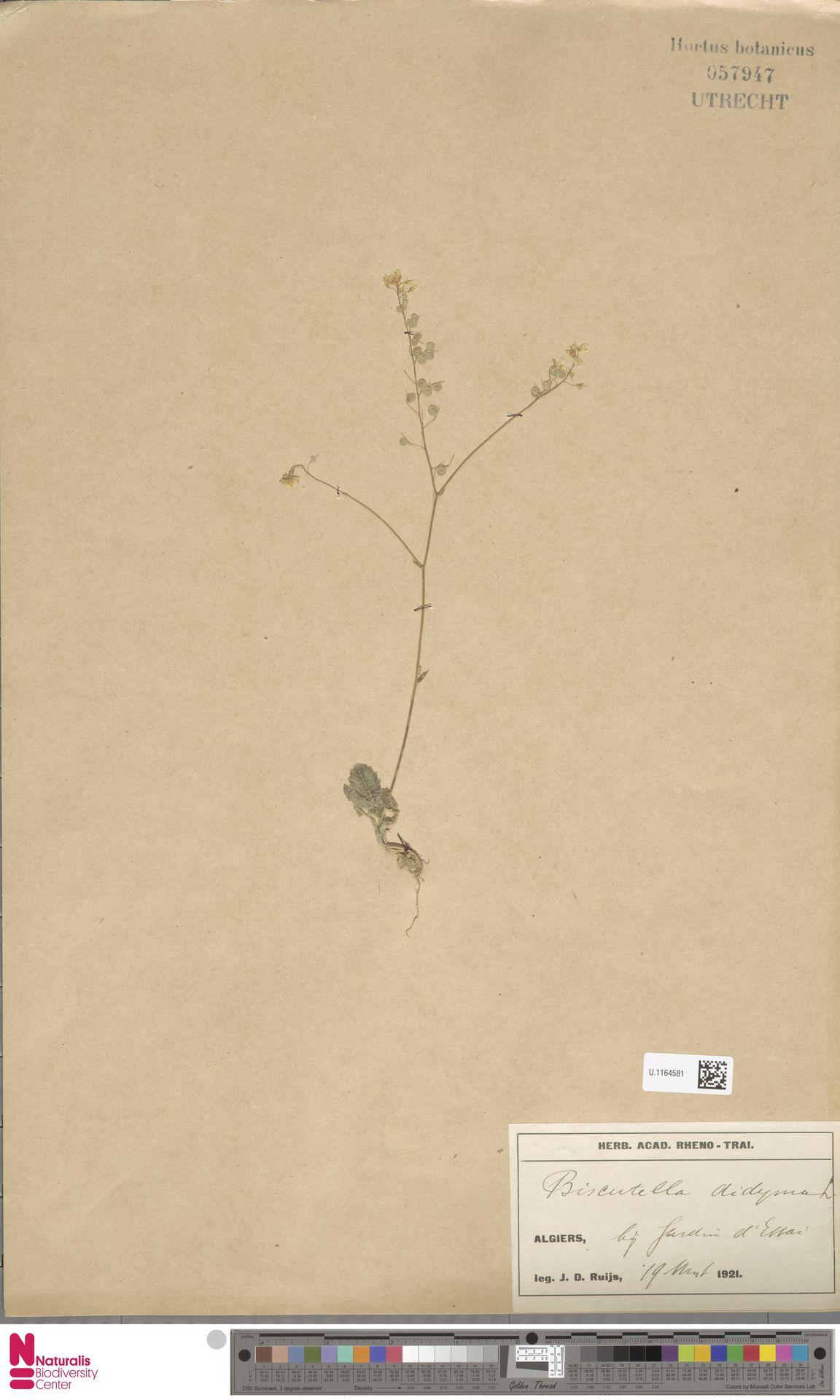U.1164581 | Biscutella didyma L.