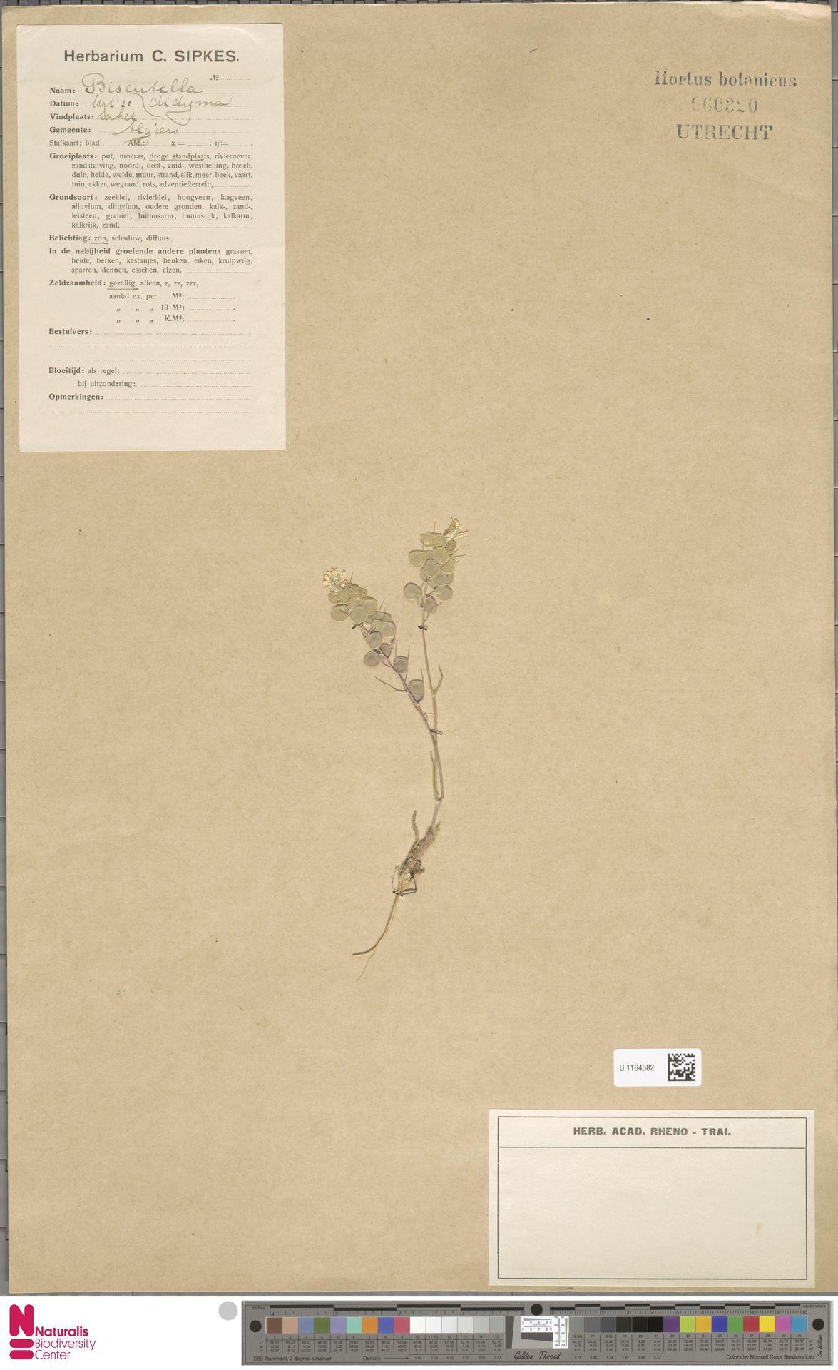 U.1164582 | Biscutella didyma L.