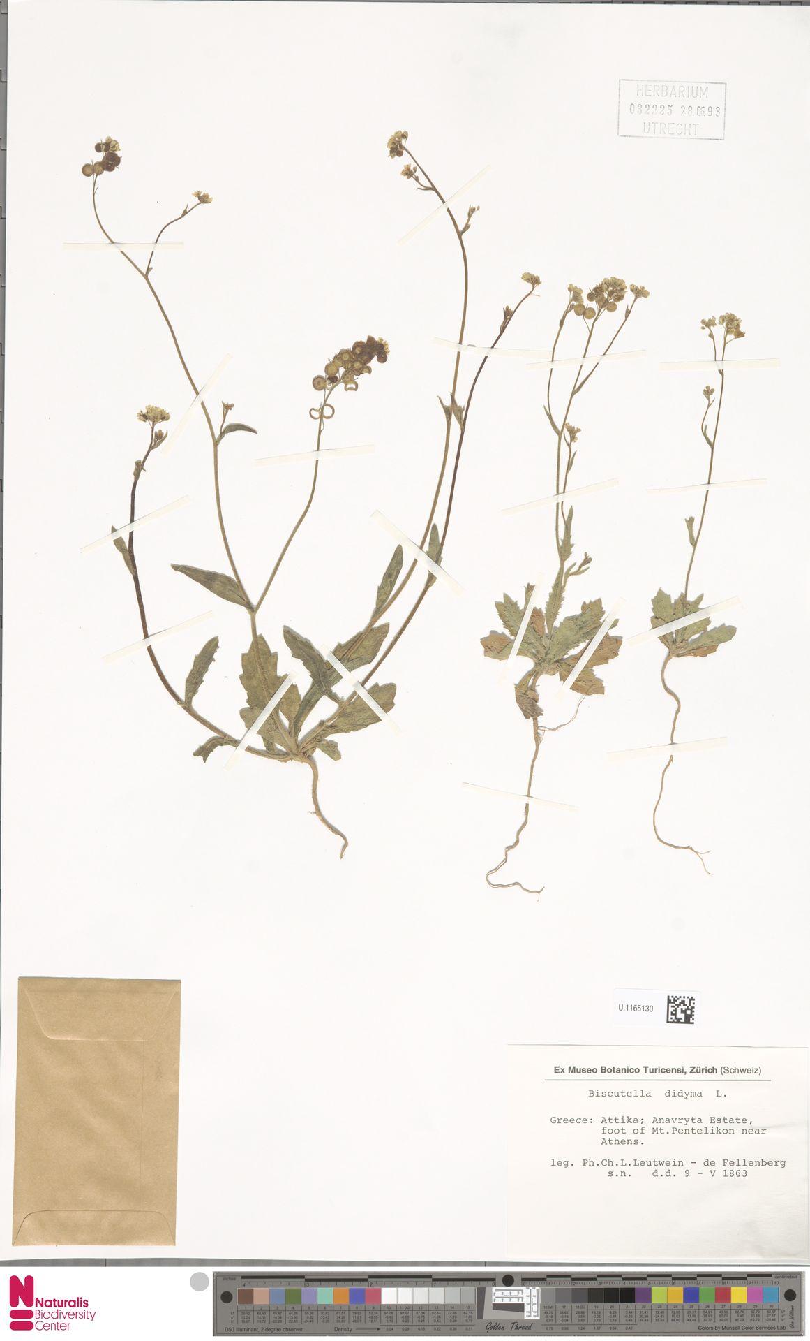 U.1165130 | Biscutella didyma L.