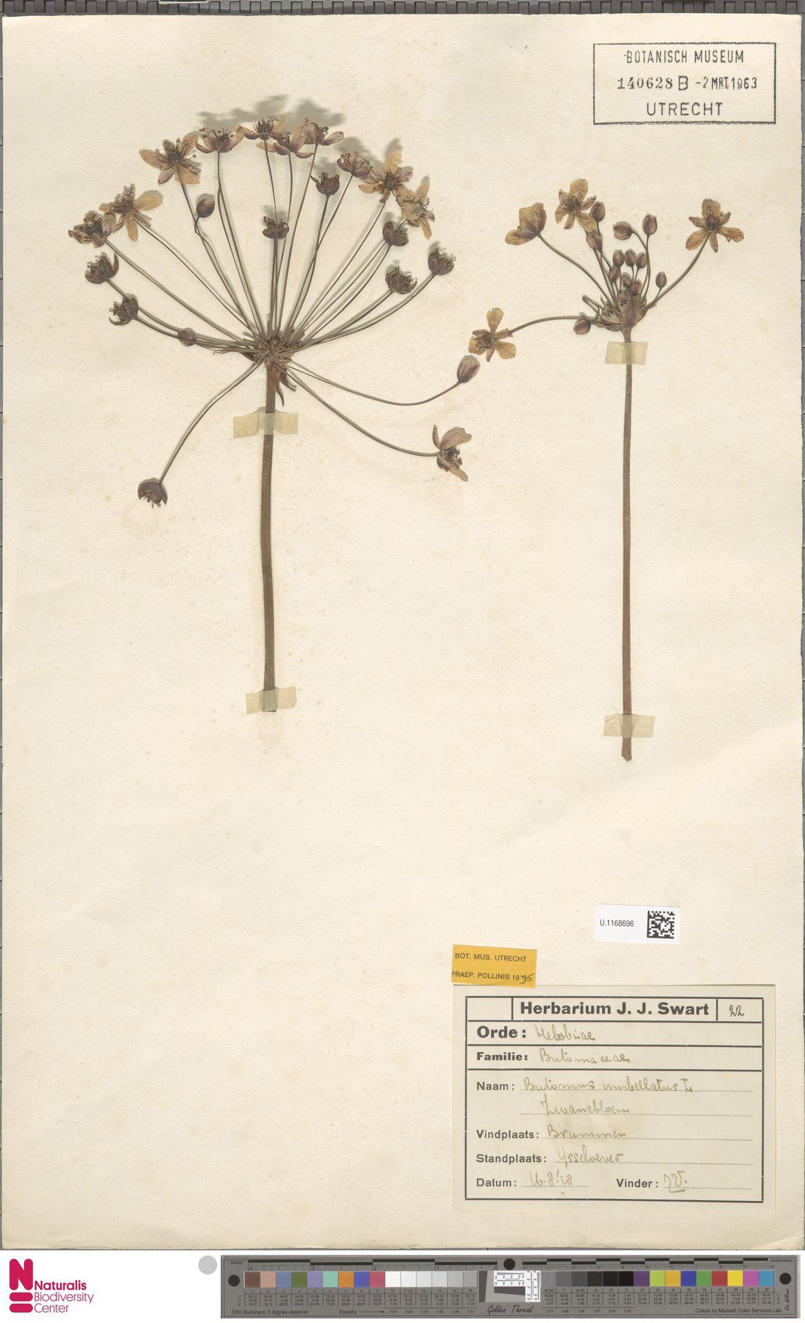 U.1168696   Butomus umbellatus L.