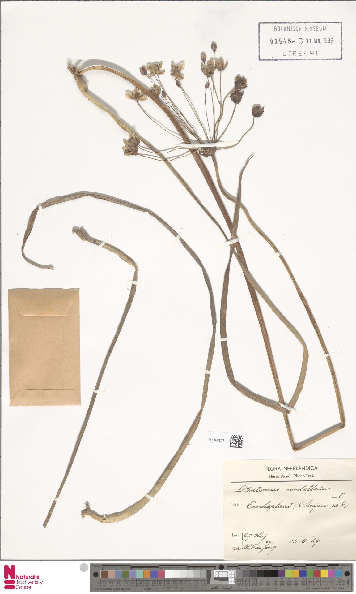 U.1168697 | Butomus umbellatus L.