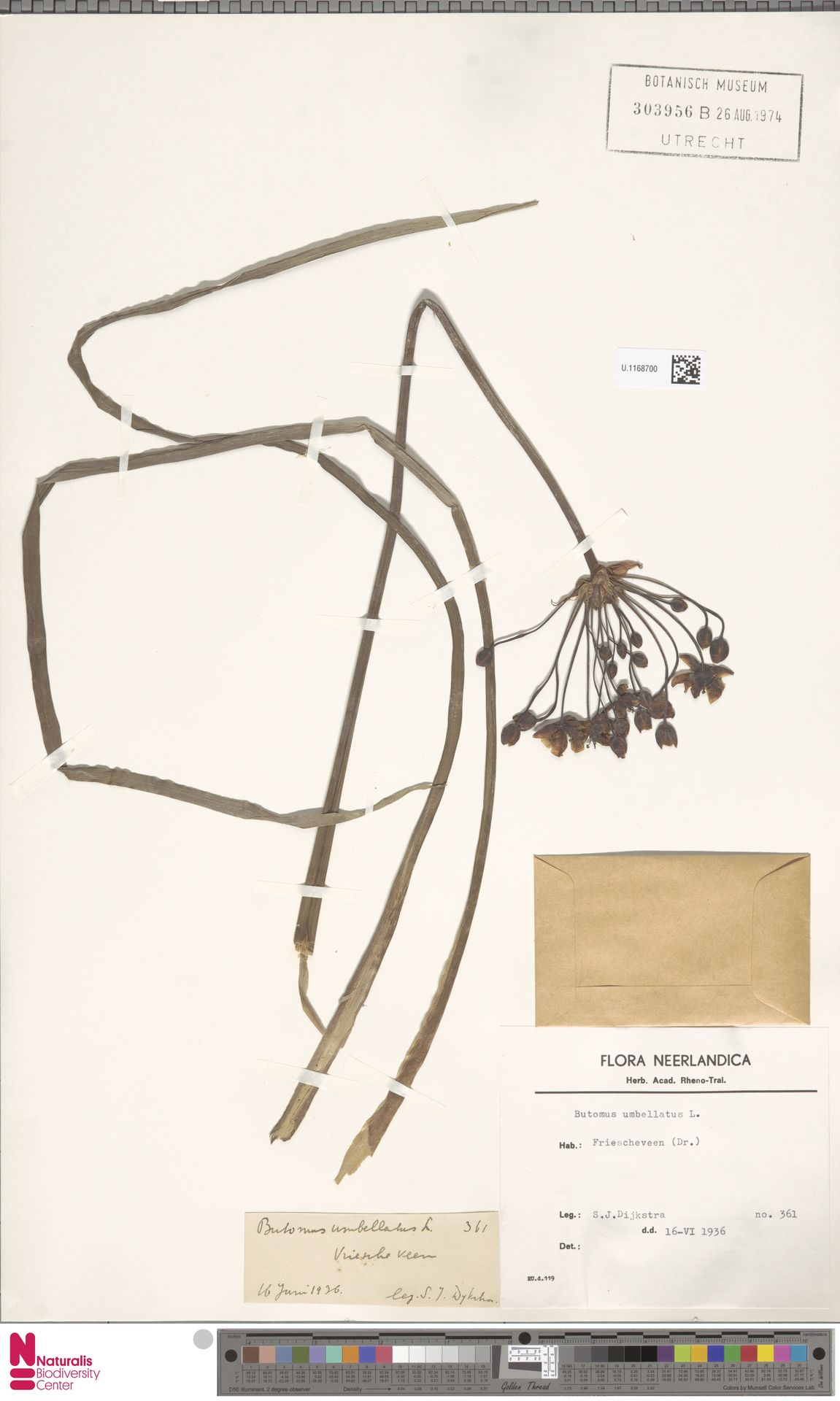 U.1168700   Butomus umbellatus L.