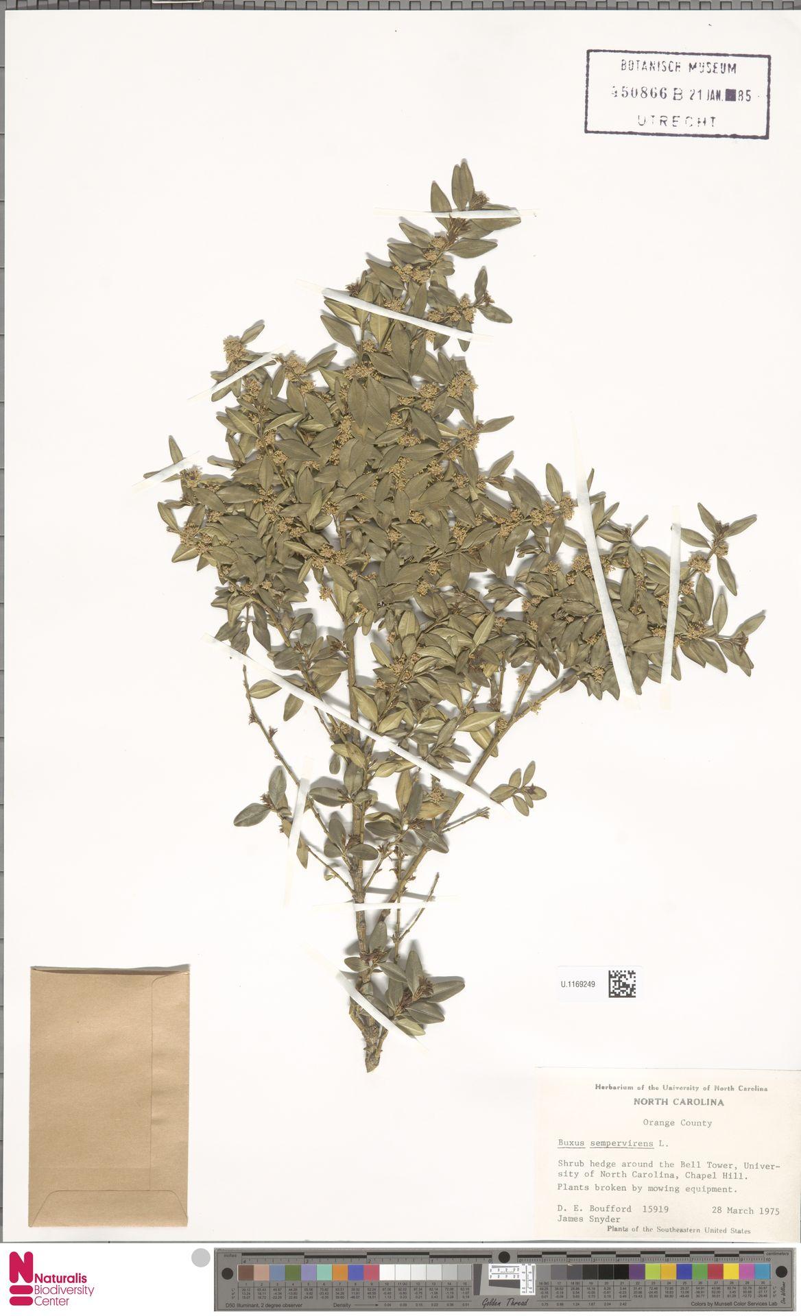 U.1169249 | Buxus sempervirens L.