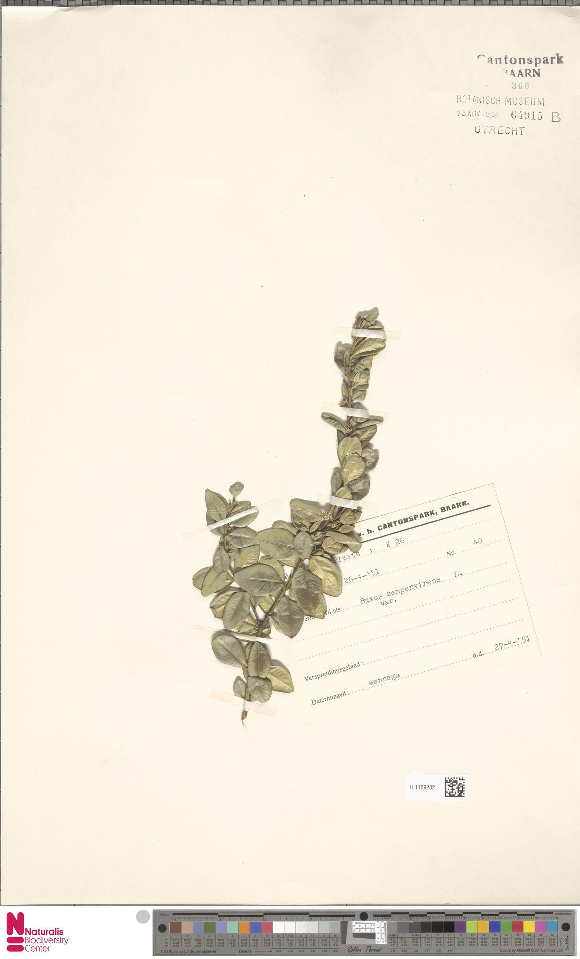 U.1169282 | Buxus sempervirens L.