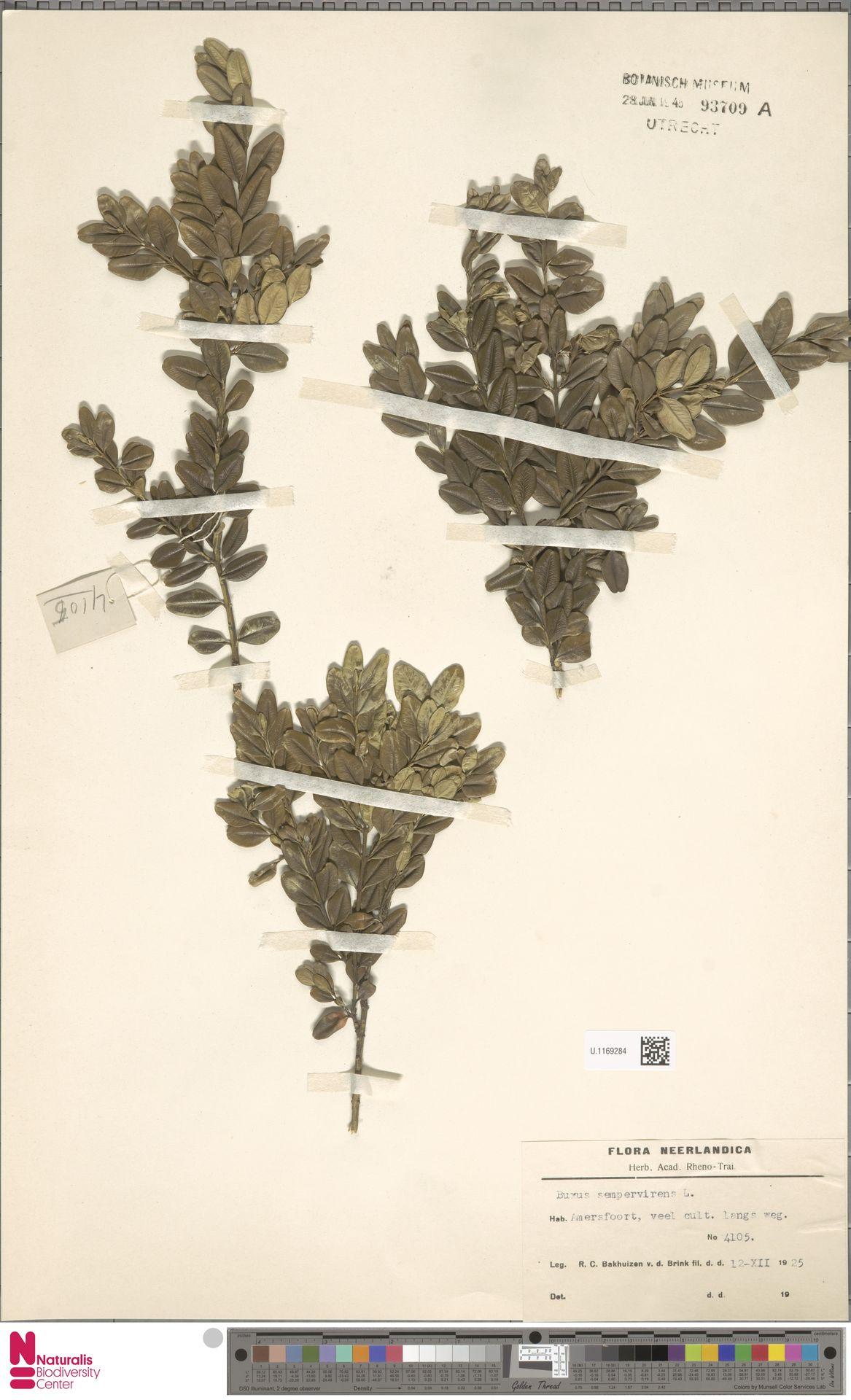 U.1169284 | Buxus sempervirens L.
