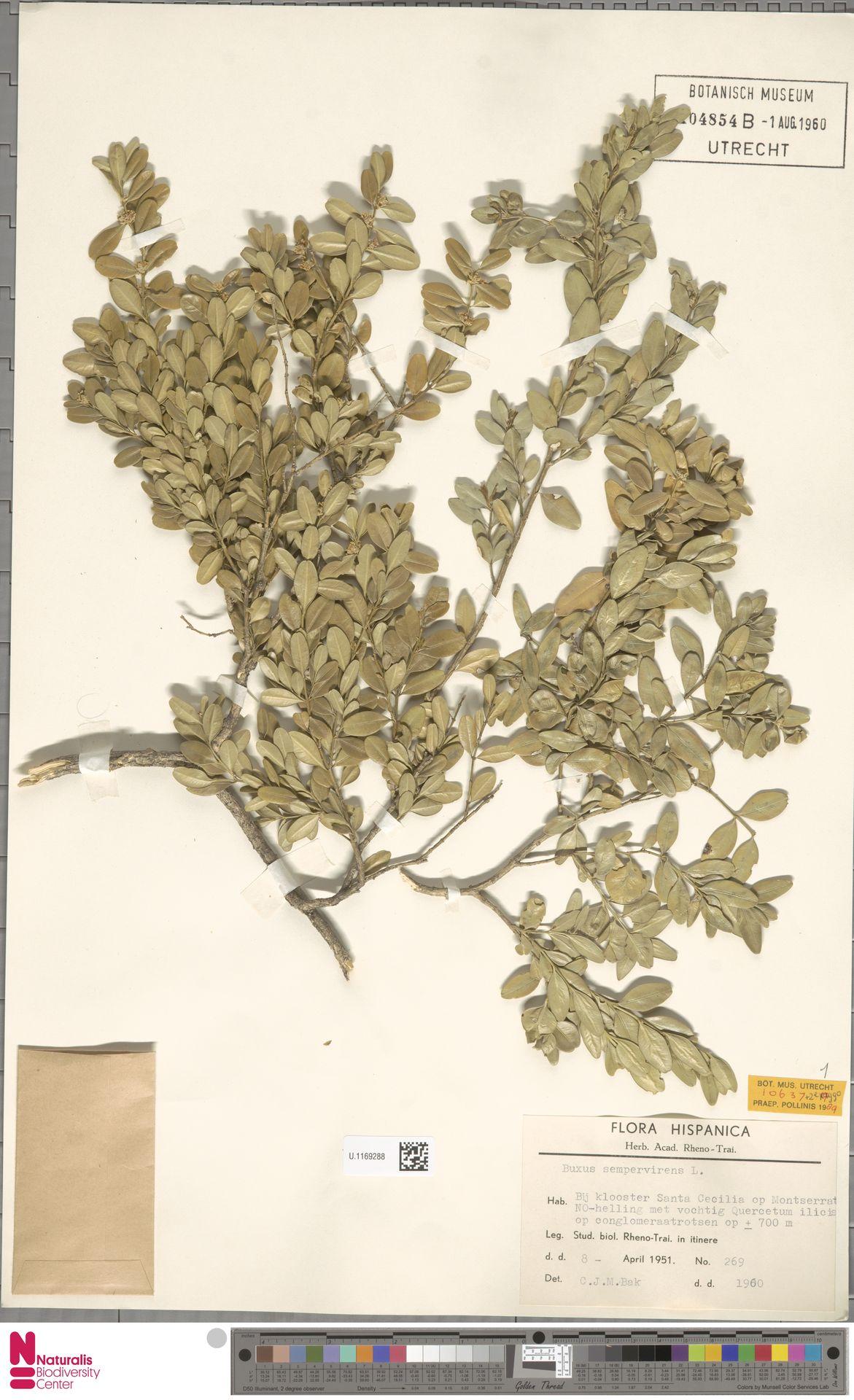 U.1169288   Buxus sempervirens L.