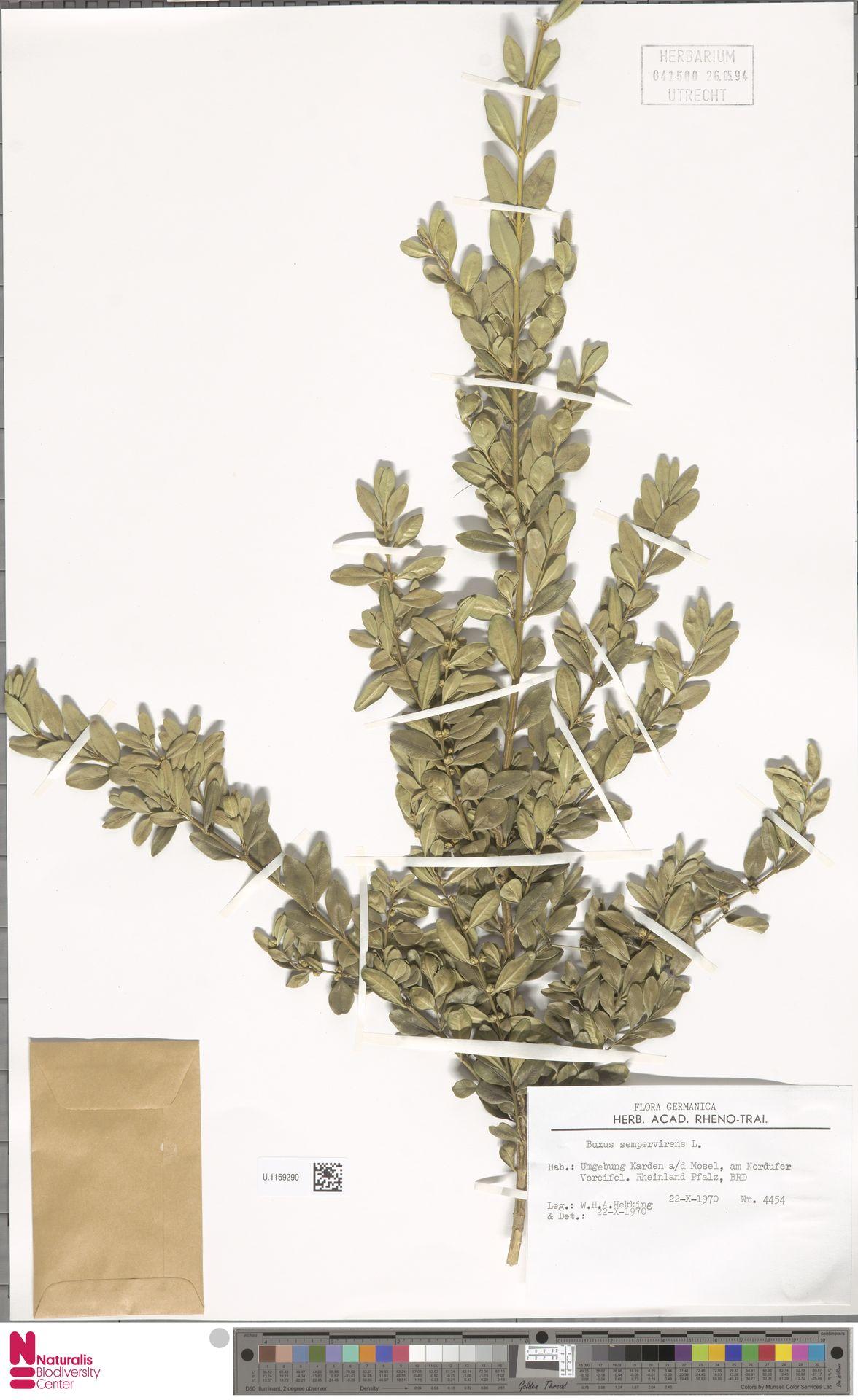 U.1169290 | Buxus sempervirens L.