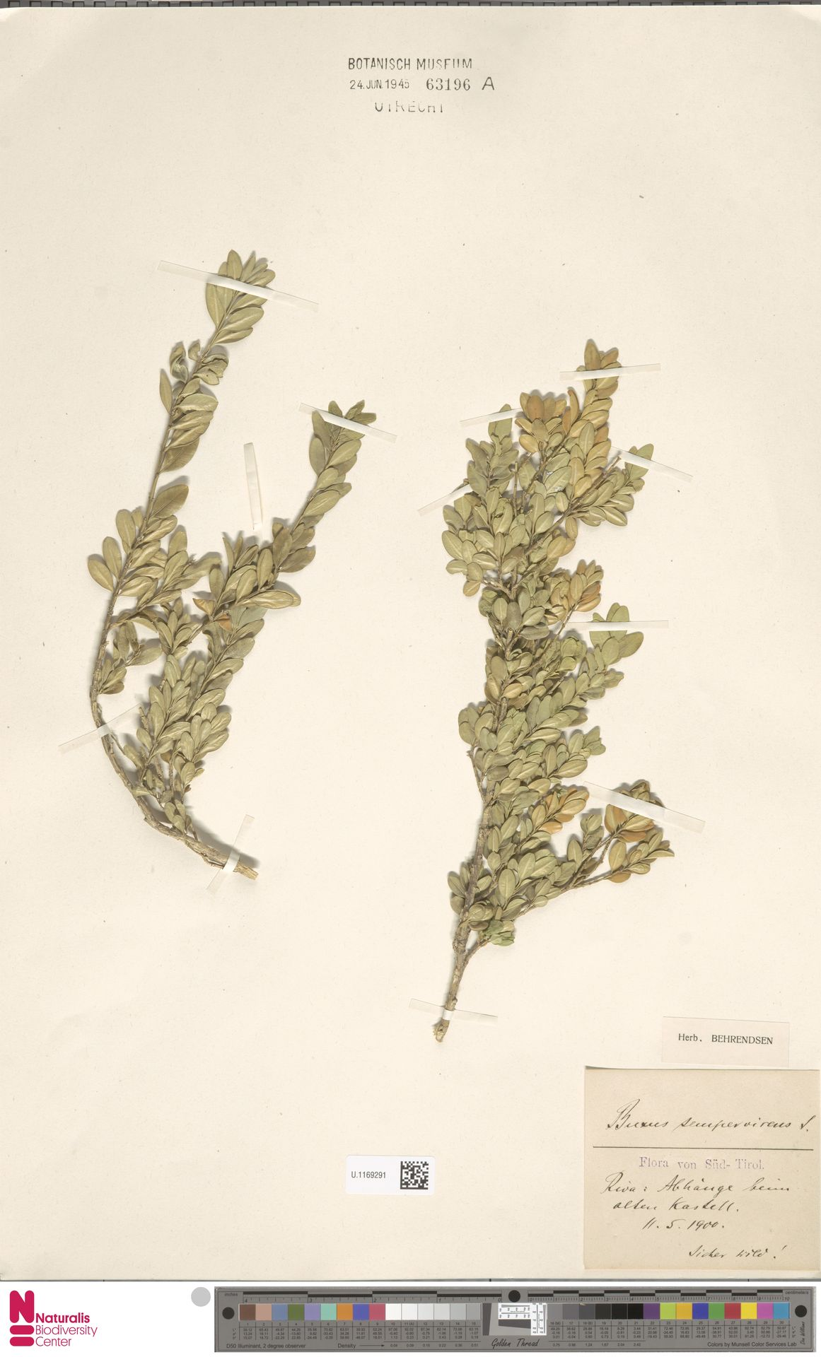 U.1169291   Buxus sempervirens L.